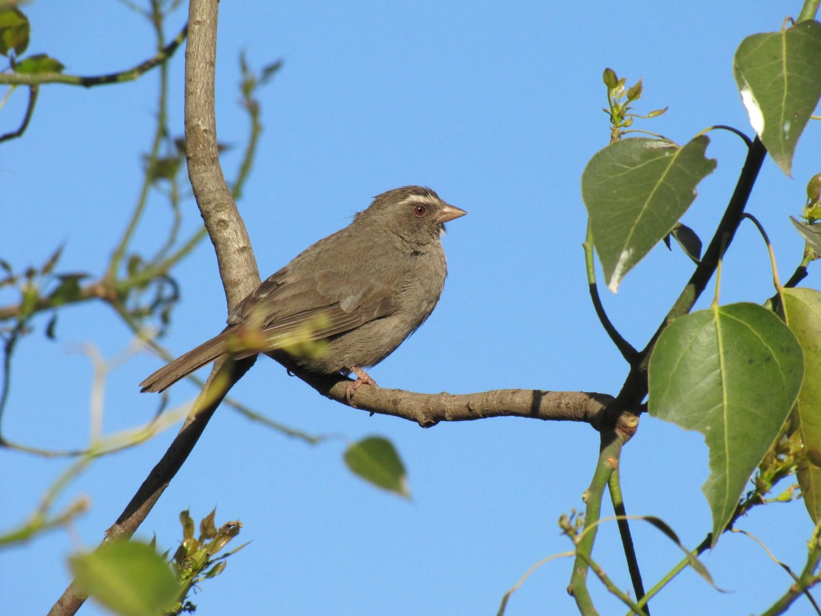 Brown-rumped Seedeater, Ethiopia - Trevor's Birding