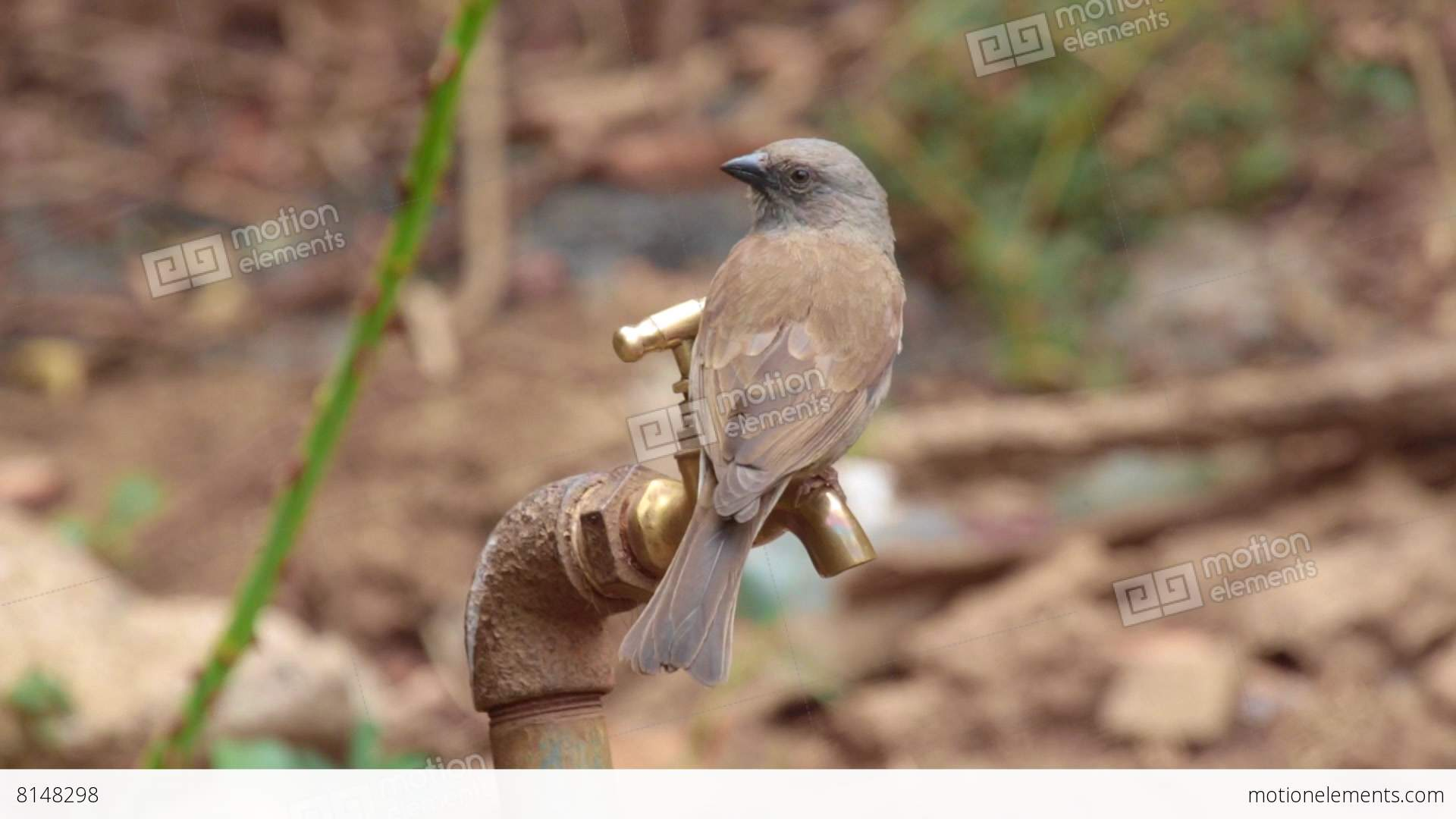 Brown-rumped Seedeater Drinking From The Tap Stock video footage ...