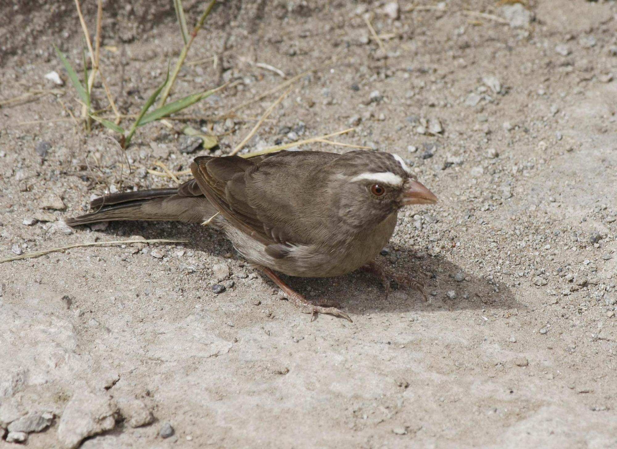 Brown-rumped Seedeater (Crithagra tristriata) Foraging on the ground ...