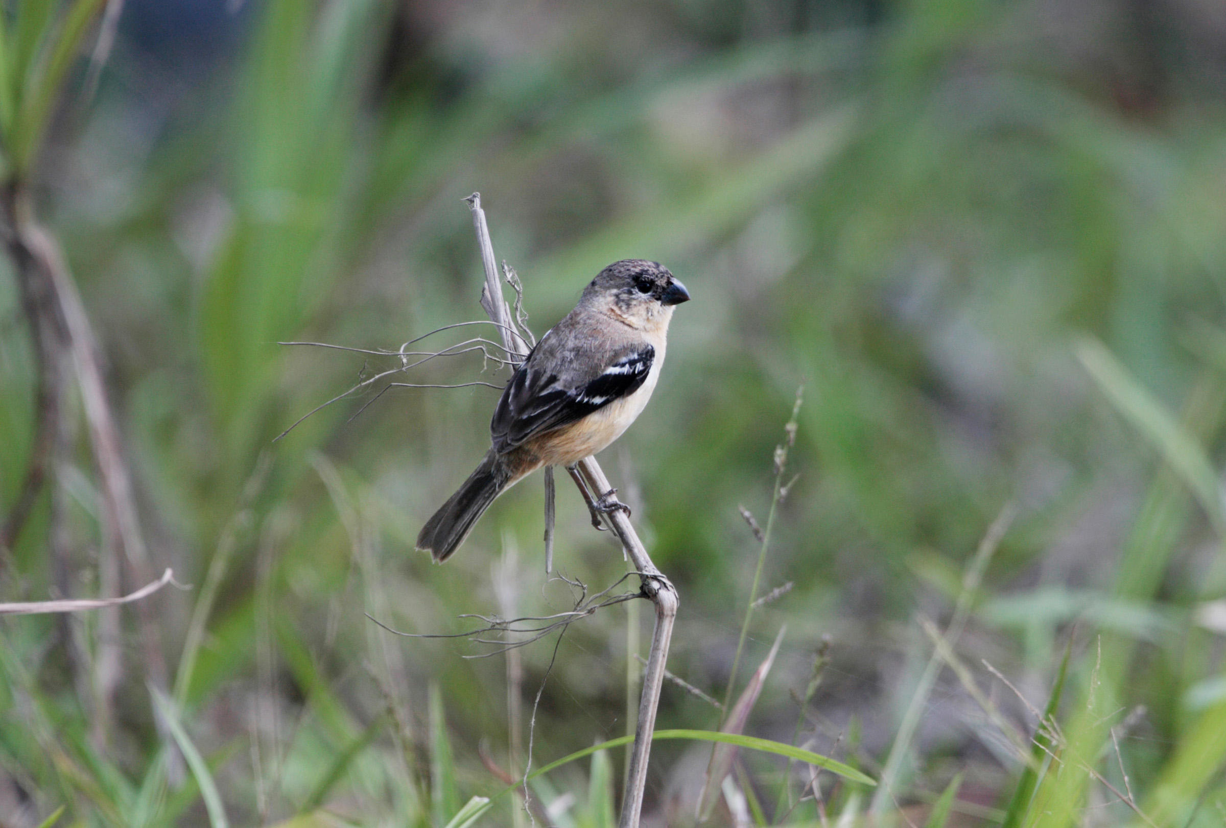 White-collared Seedeater | Audubon Field Guide