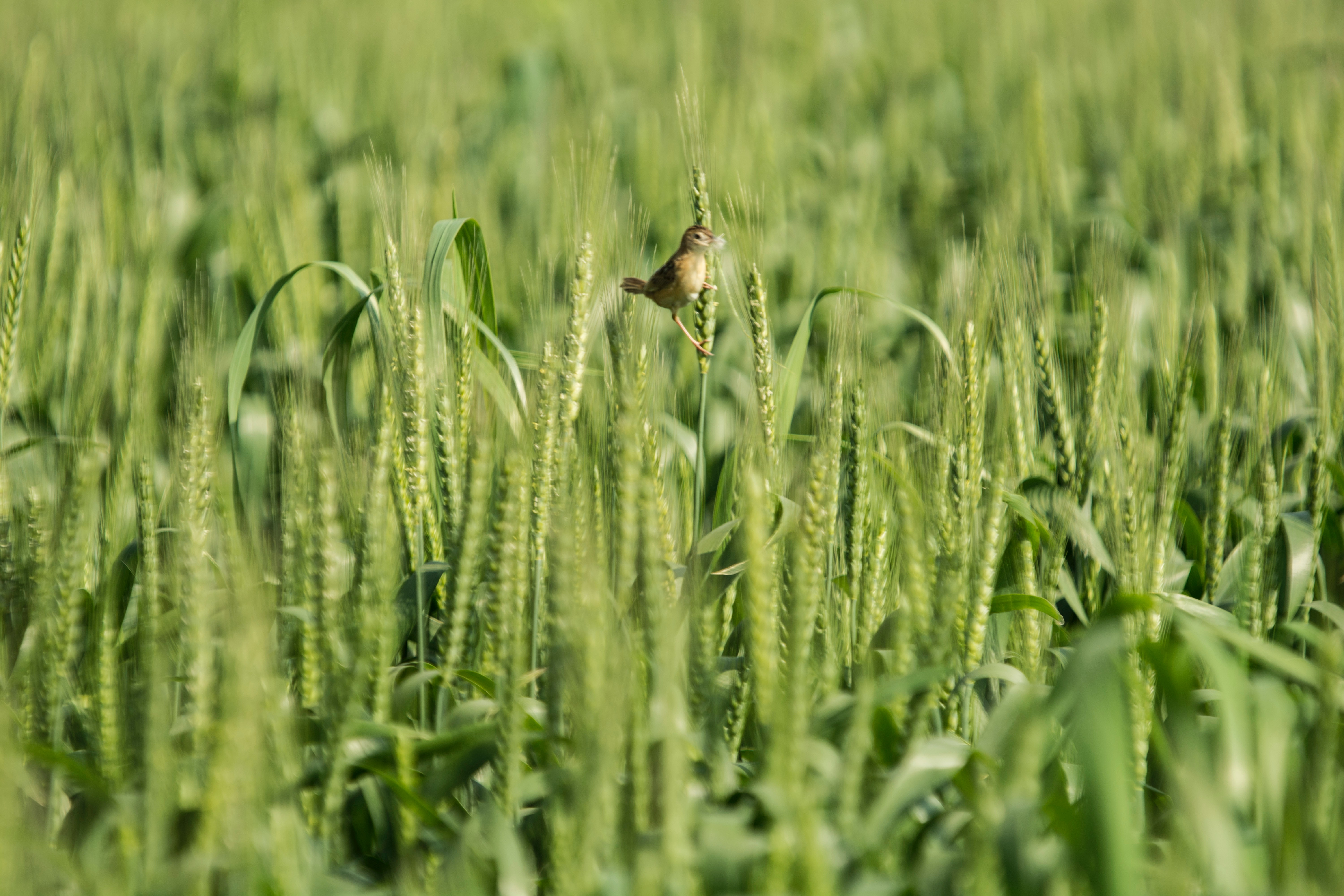 Brown Seedeater Bird, Agriculture, Growth, Wheat, Summer, HQ Photo