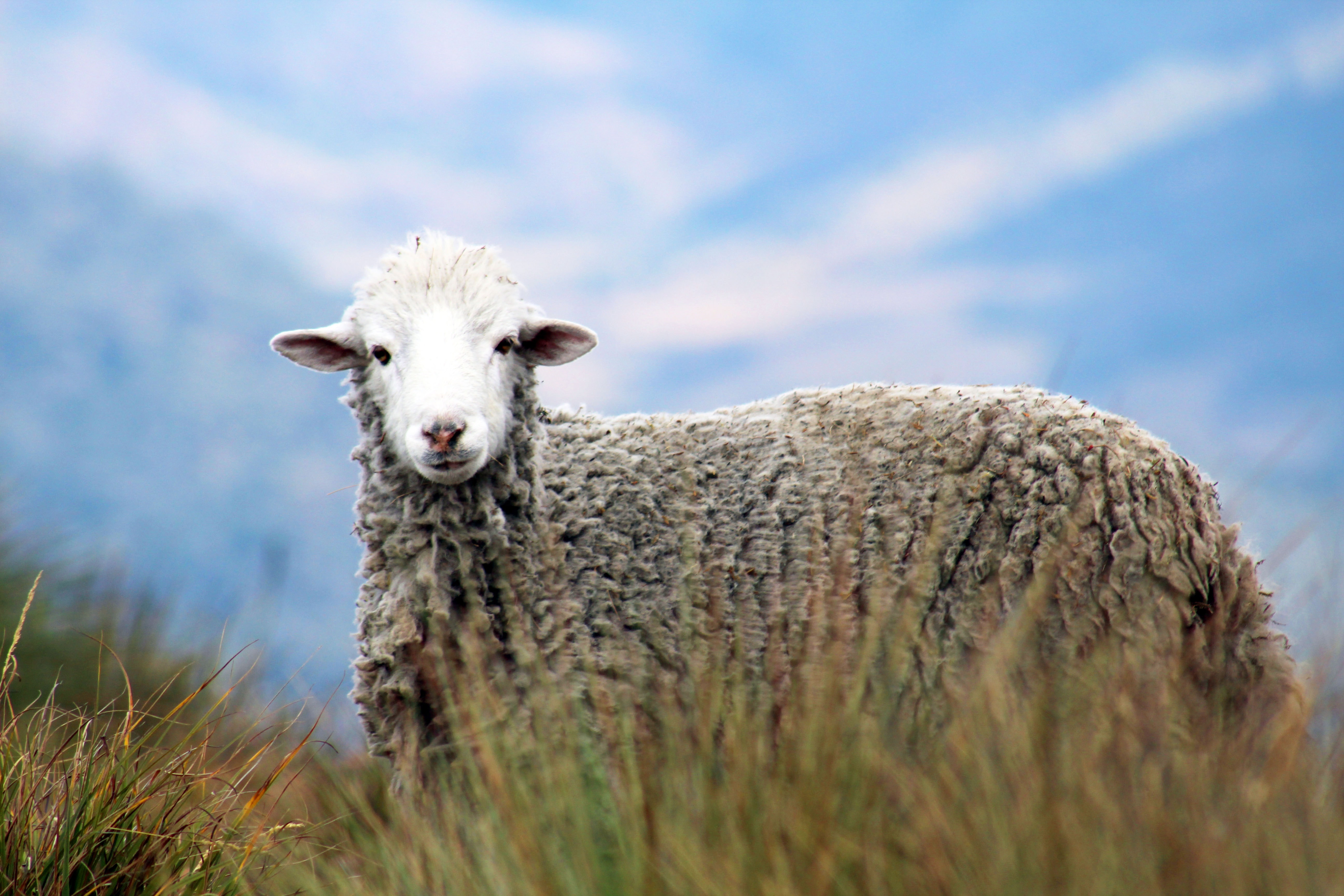Brown Sheep on Grass in Auto Focus Photography, Outdoors, Pasture, Mammal, Livestock, HQ Photo