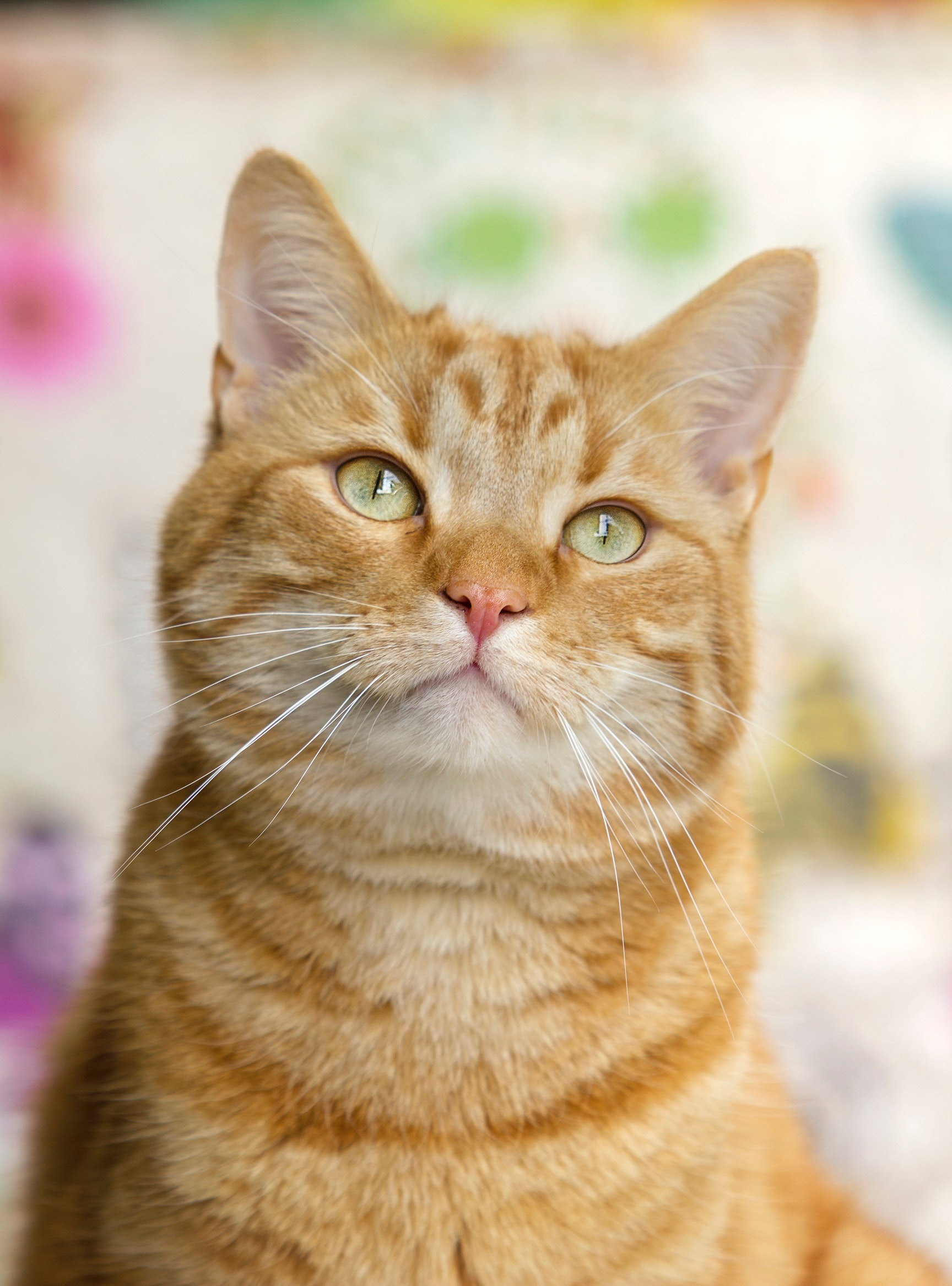 Brown Short Coated Cat, Feline, Young, Whiskers, Tabby, HQ Photo