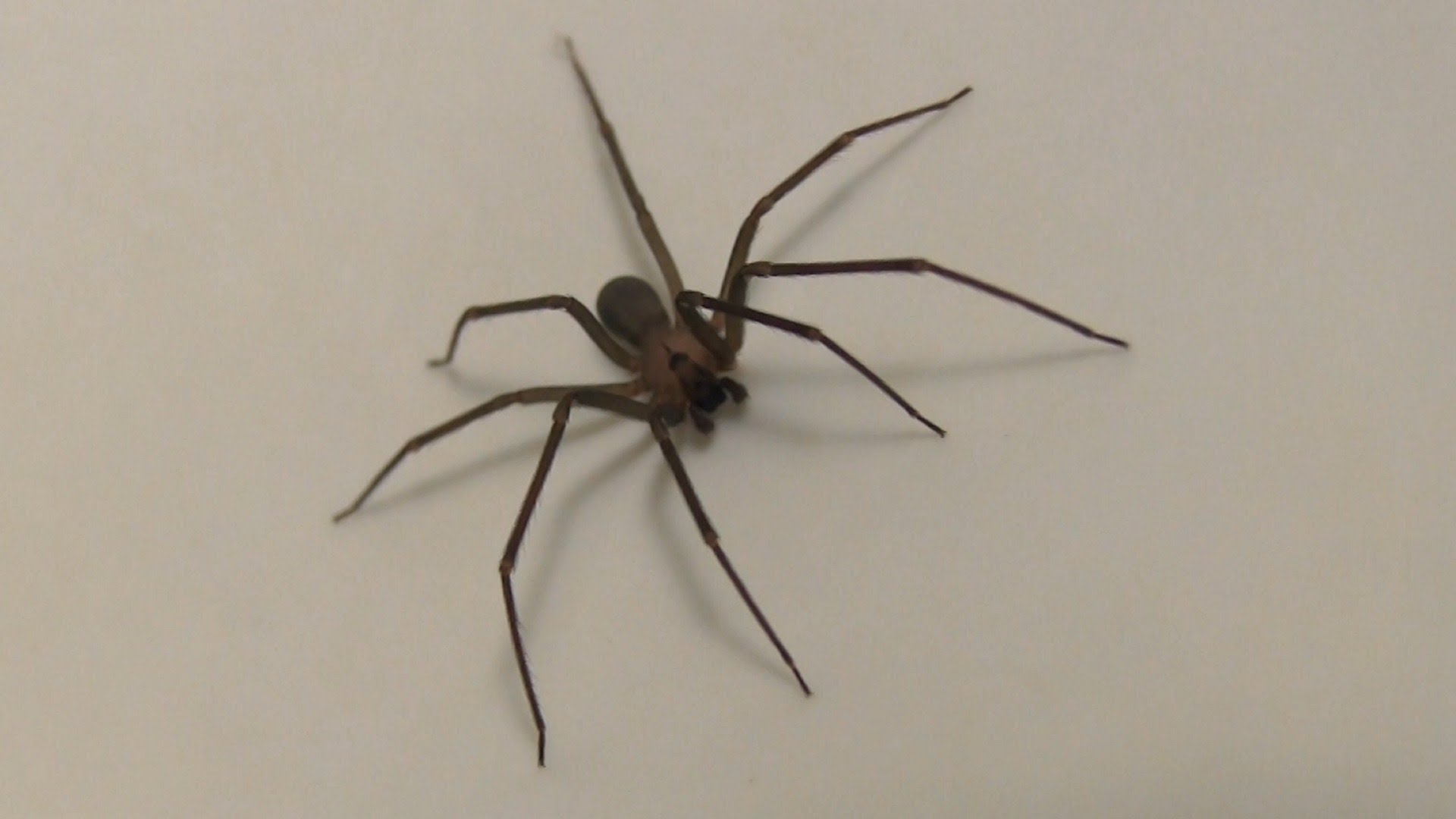 Brown Recluse spider HD close-up footage - YouTube