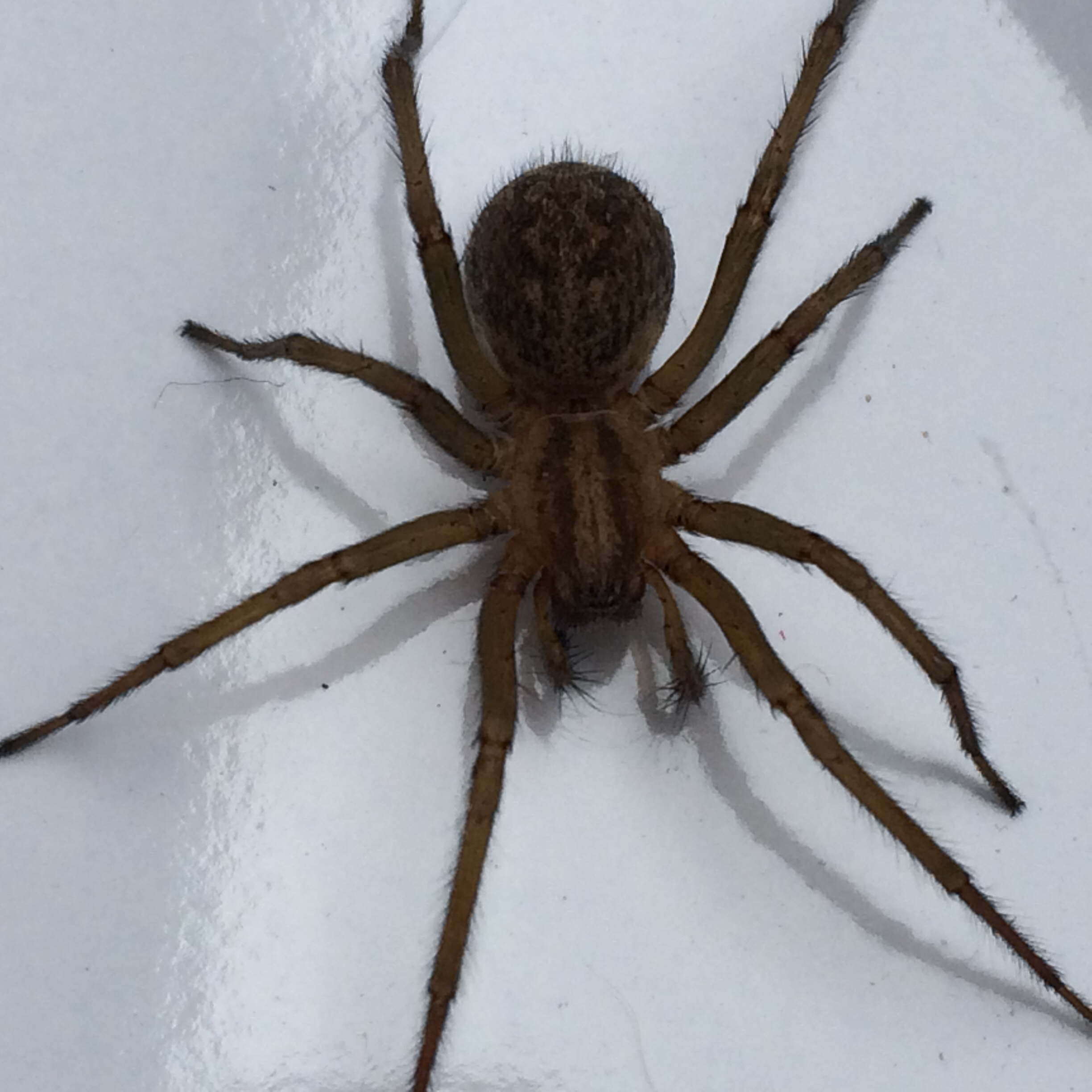 Help! Is this a brown recluse spider? Found in my basement bedroom ...