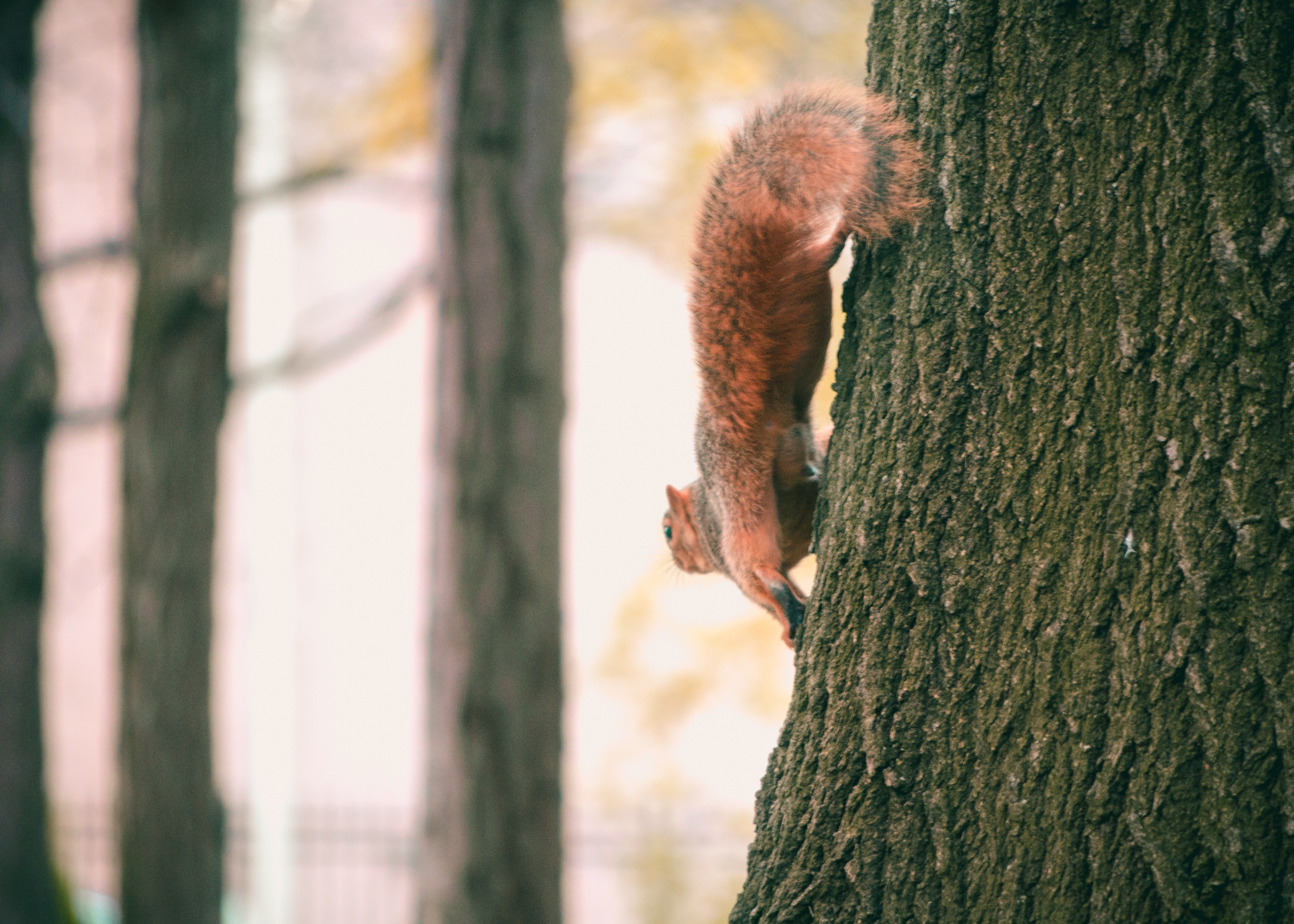 Brown squirrel on black tree photo