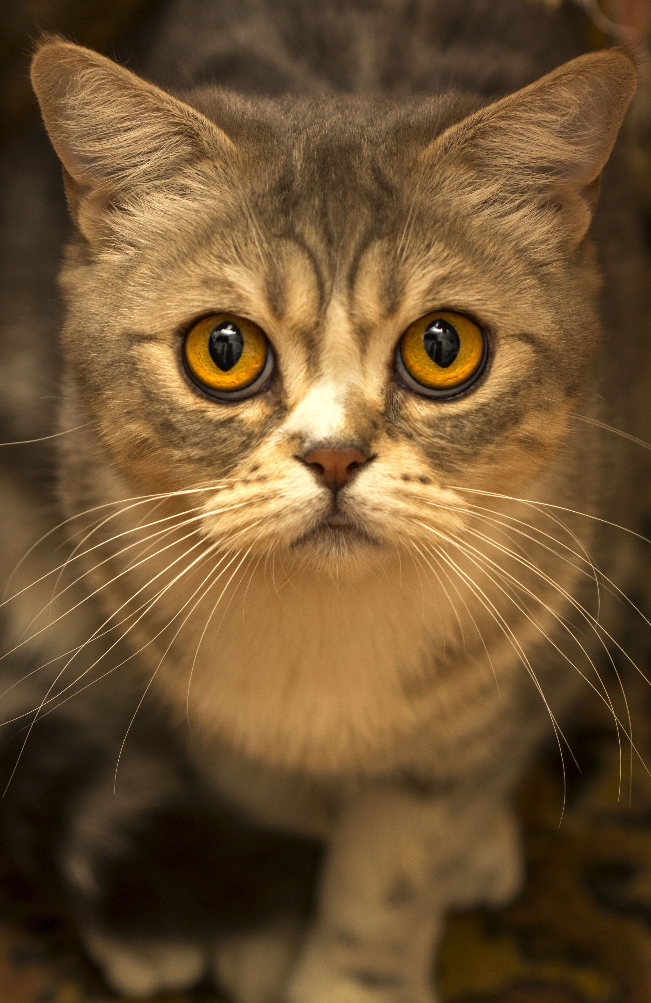 Brown Tabby Cat Close Up Photo, Little, Young, Whisker, View, HQ Photo