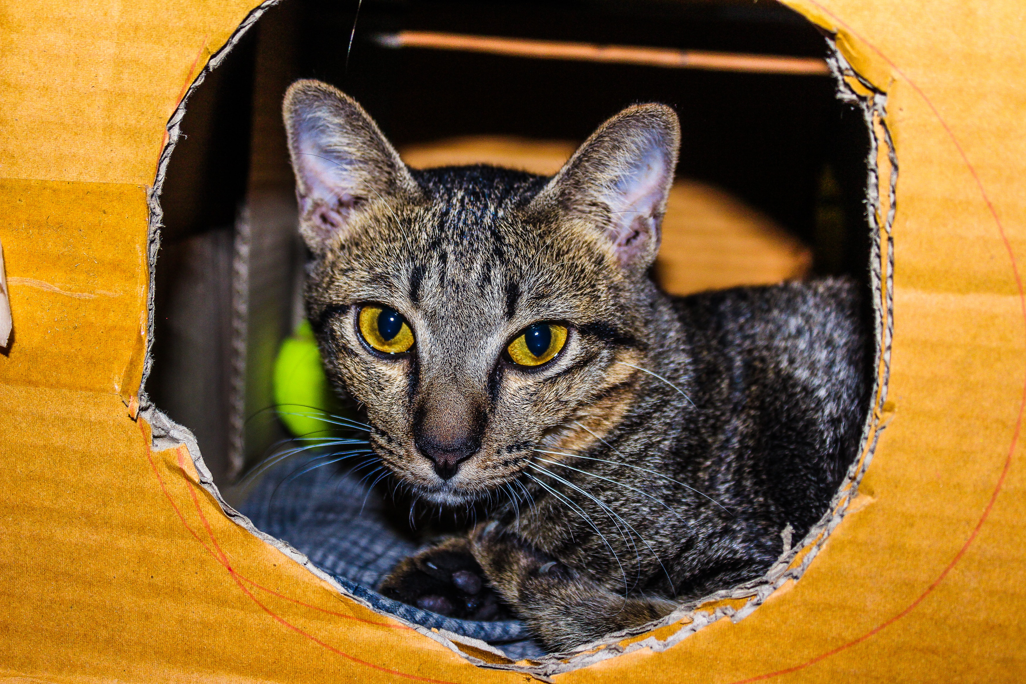Brown Tabby Cat Inside Cardboard Box, Adorable, Posing, Little, Looking, HQ Photo