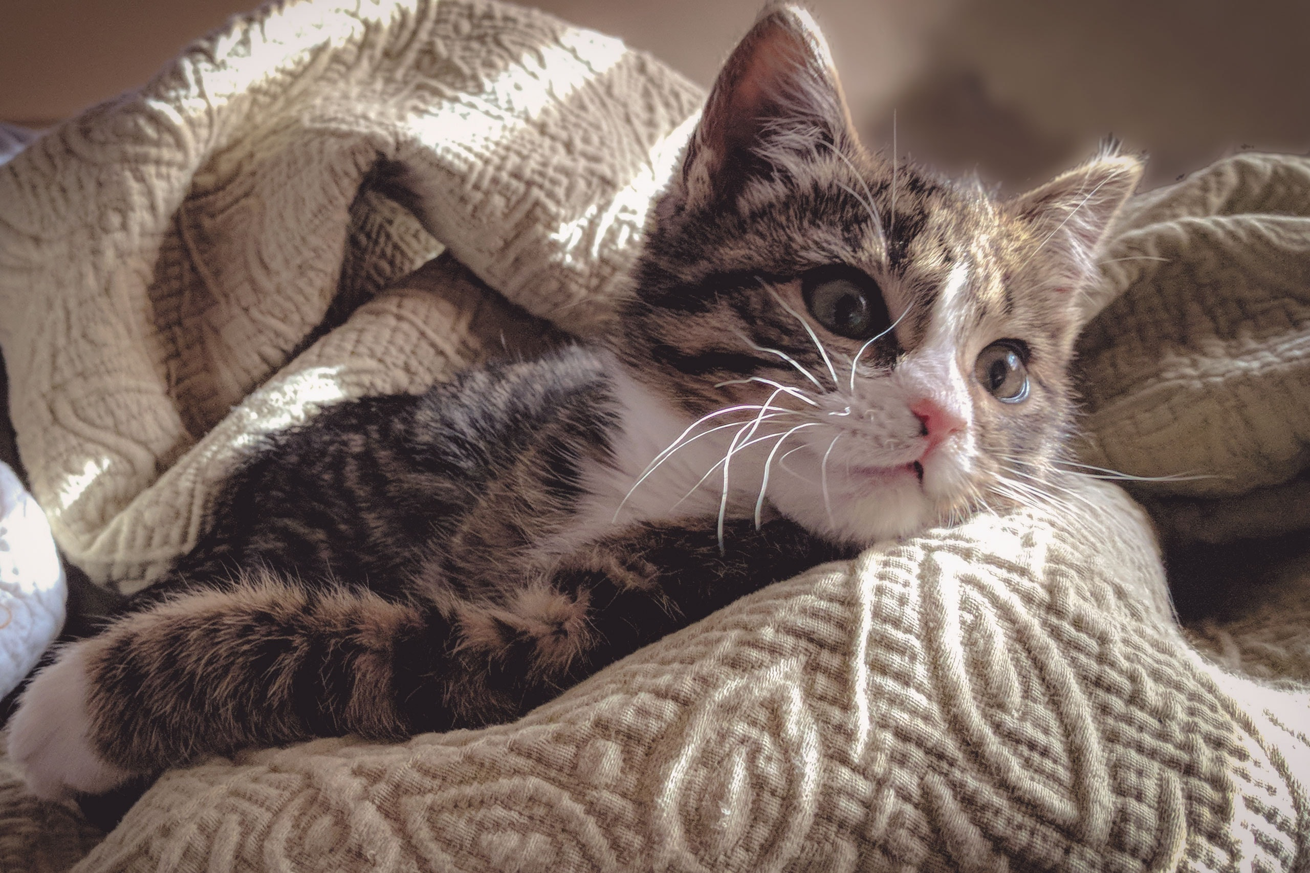 Brown tabby cat lying down on gray bed sheet photo