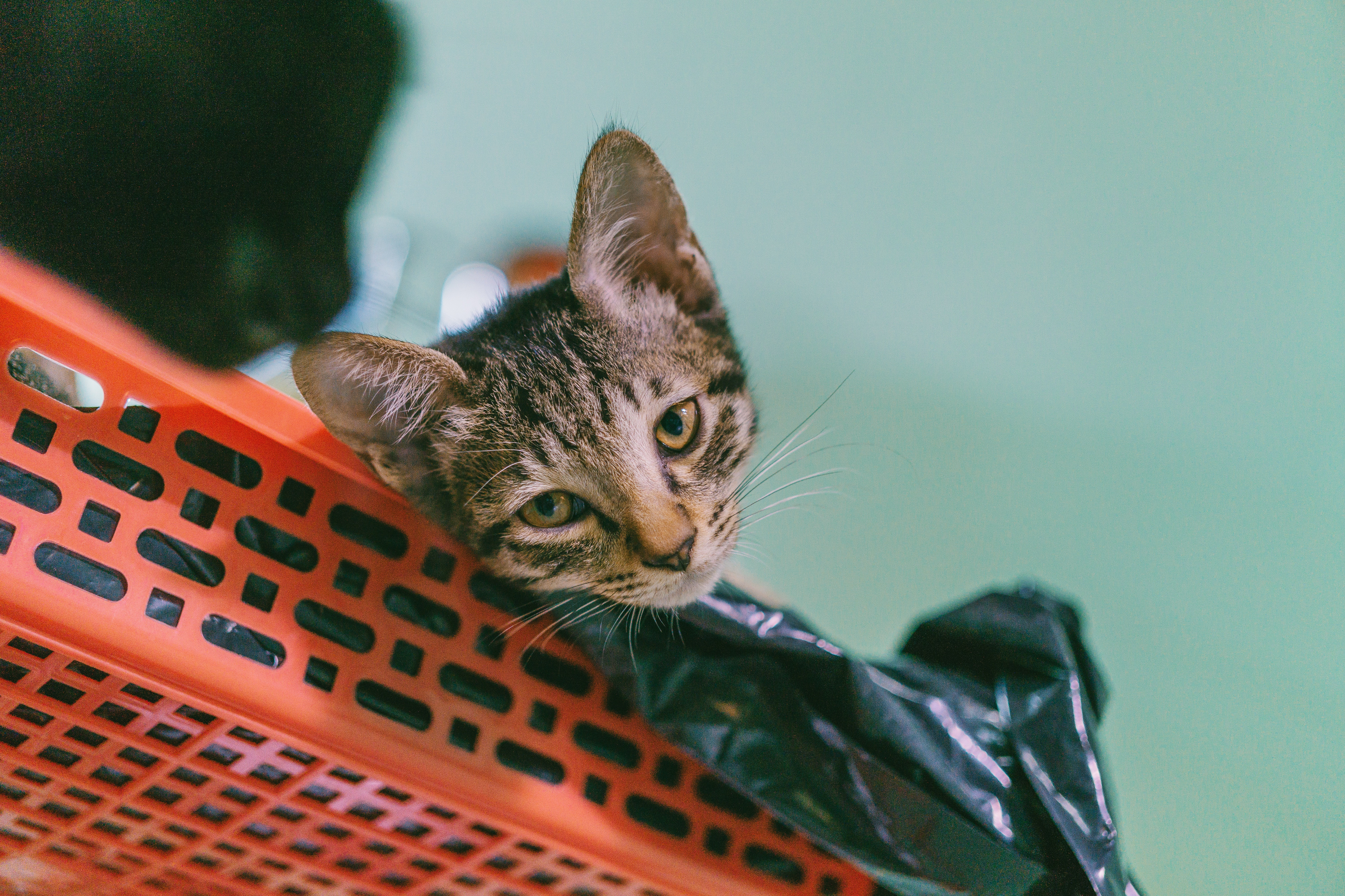 Brown Tabby Cat Lying on Plastic Rack, Kitty, Young, Whiskers, Tabby, HQ Photo