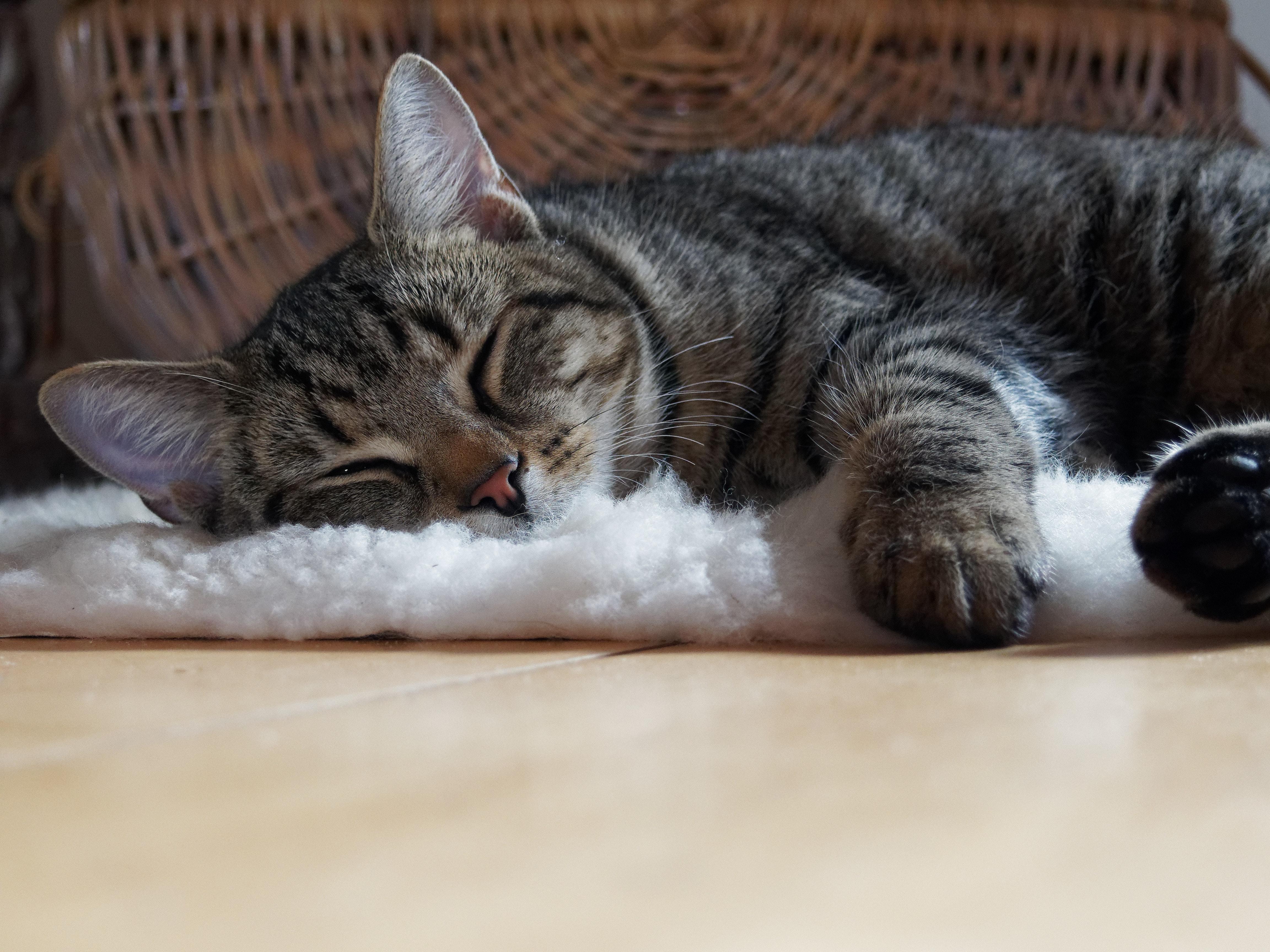 Brown tabby cat lying on shag rug photo