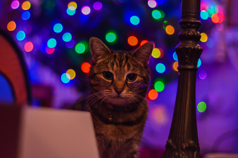 Brown tabby cat staring at the camera photo