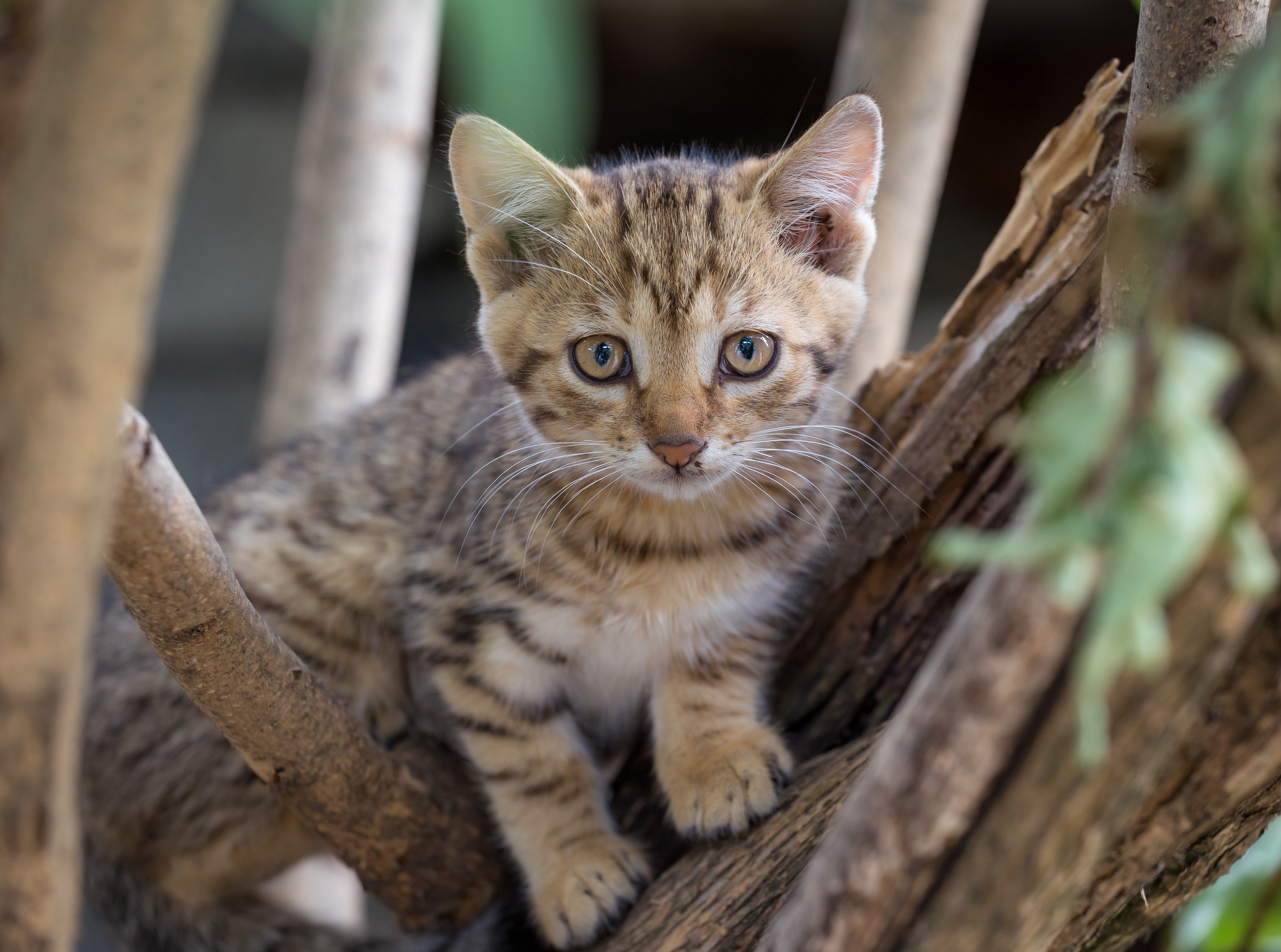 Brown Tabby Kitten on Tree Branch, Adorable, Kitten, Tree, Portrait, HQ Photo