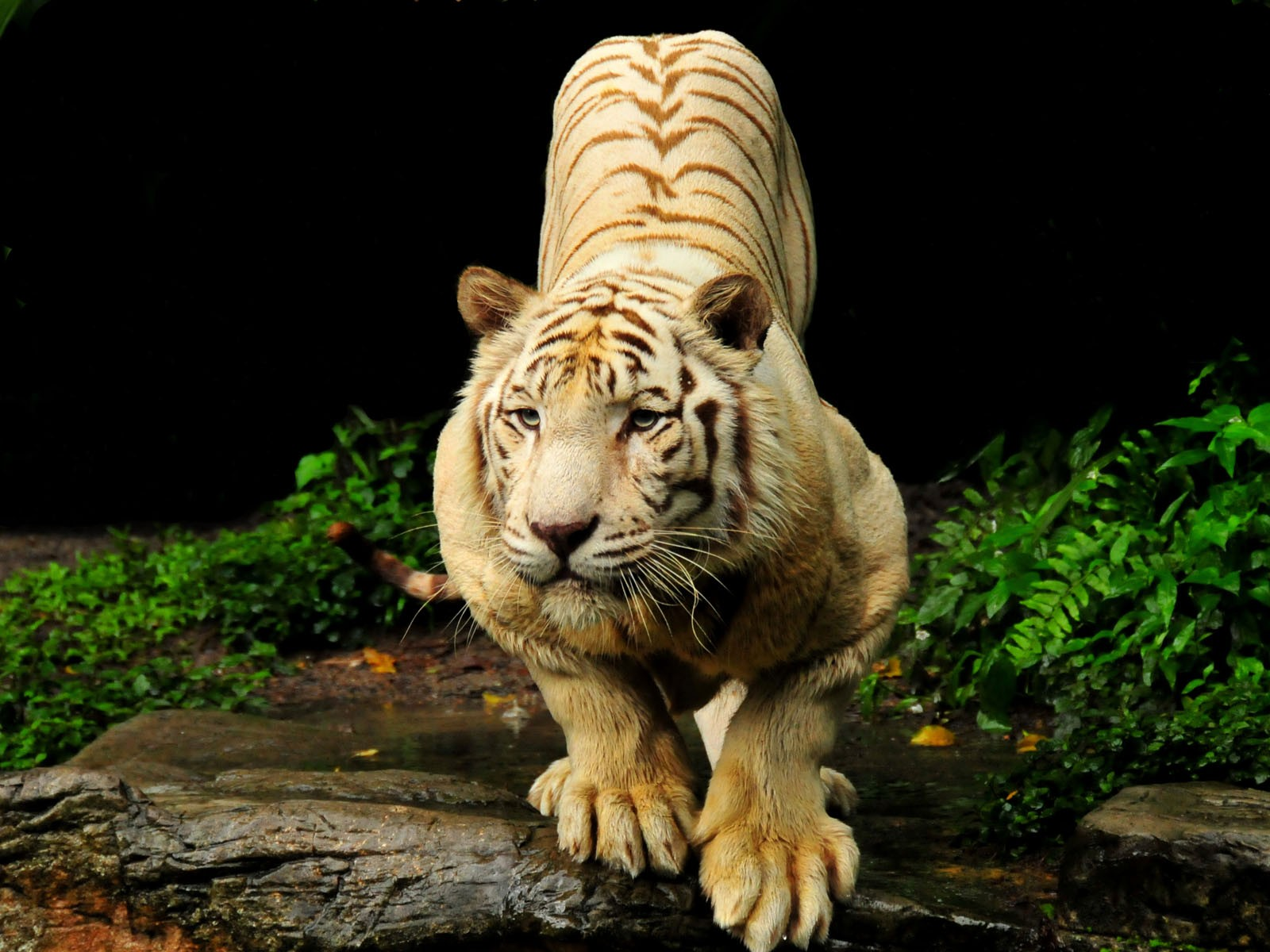 25+ Tigers HD Wallpapers For Your Desktop