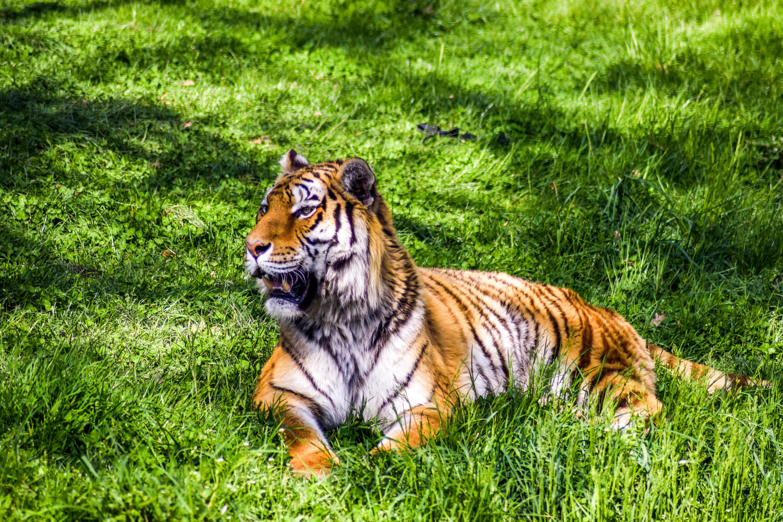 Brown tiger, Tiger, Predator, Lies HD wallpaper | Wallpaper Flare