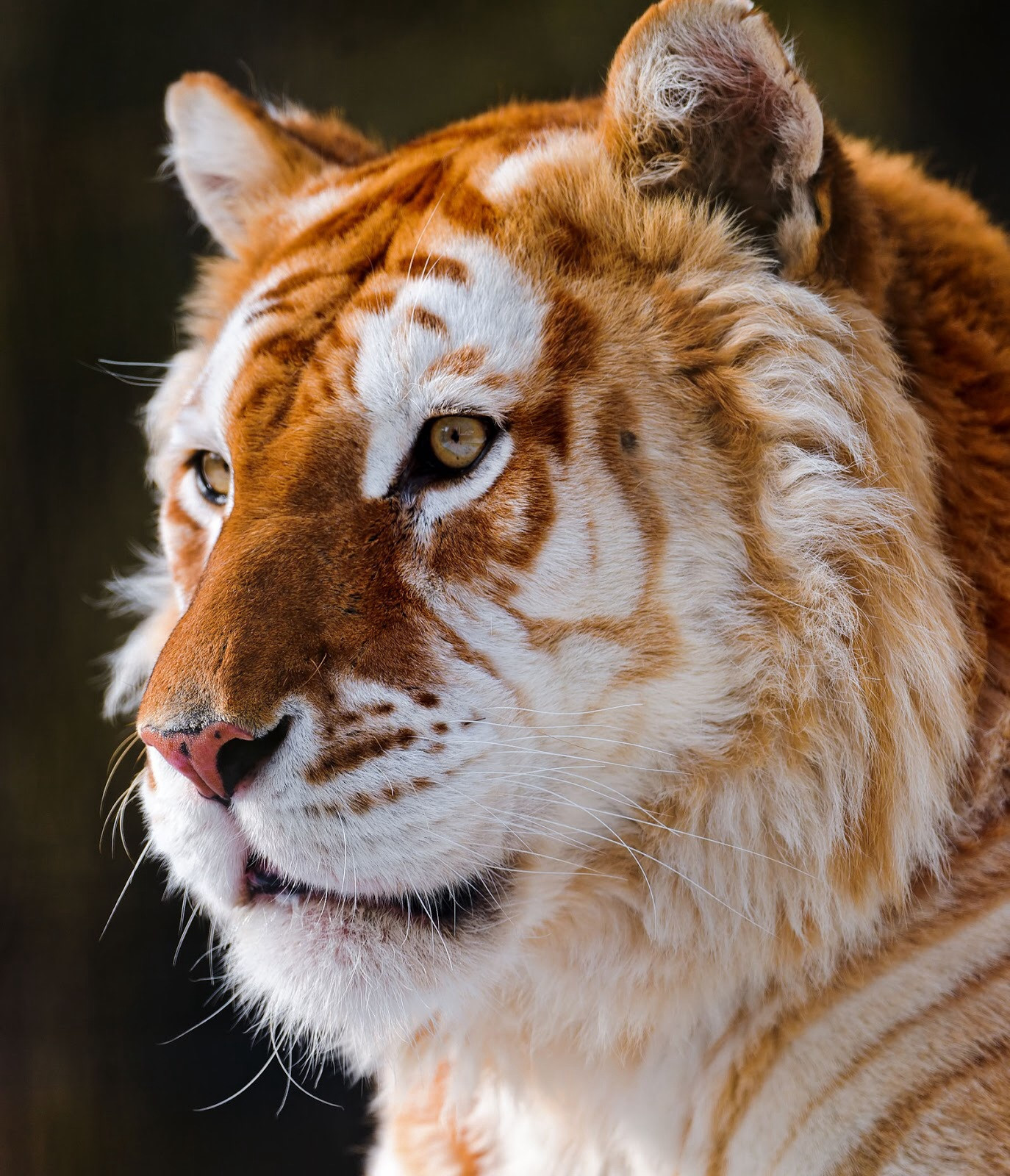 Golden Tigers. There are fewer than 30 of these rare tigers in the ...