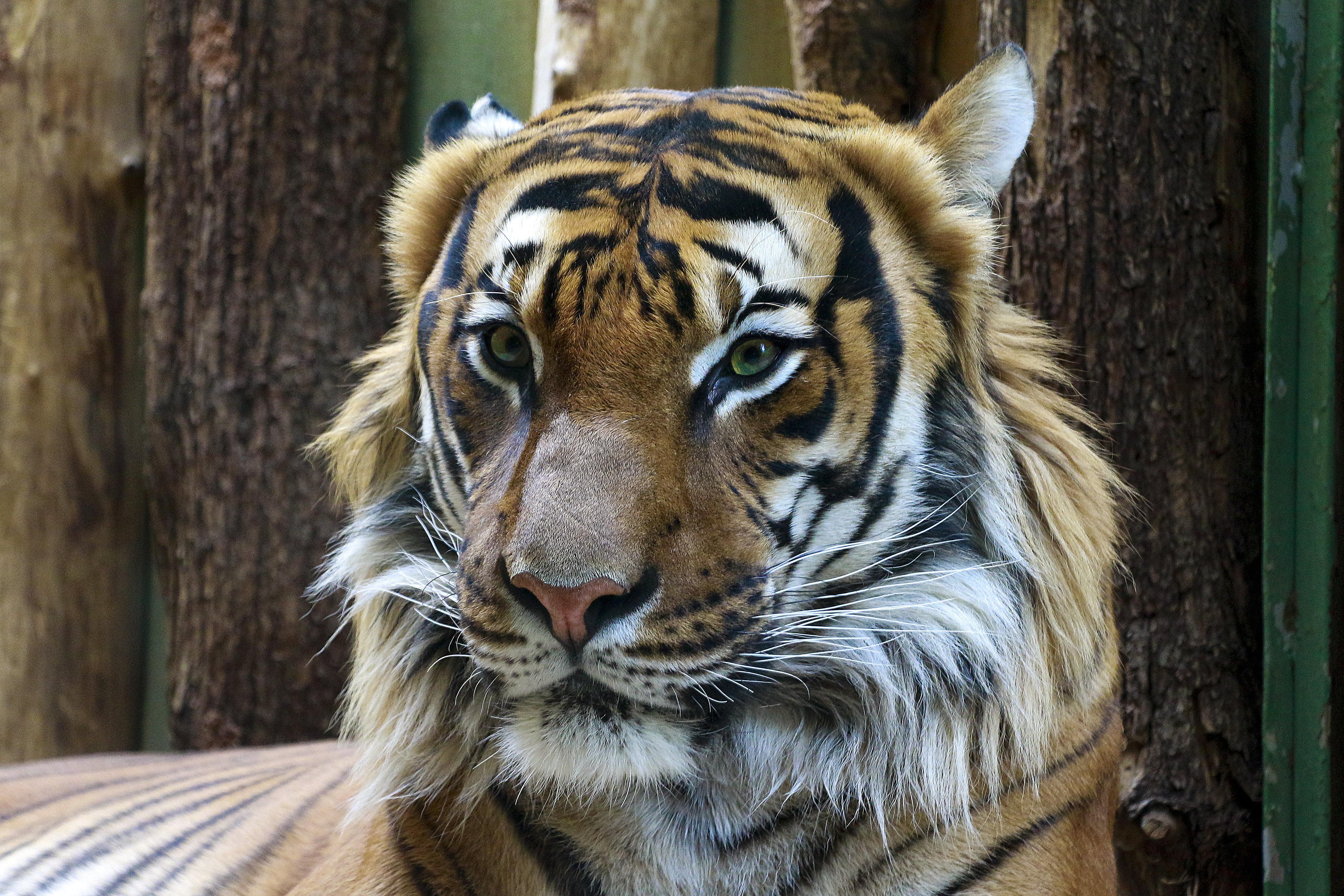 Brown tiger, Tiger, Muzzle, Predator HD wallpaper | Wallpaper Flare
