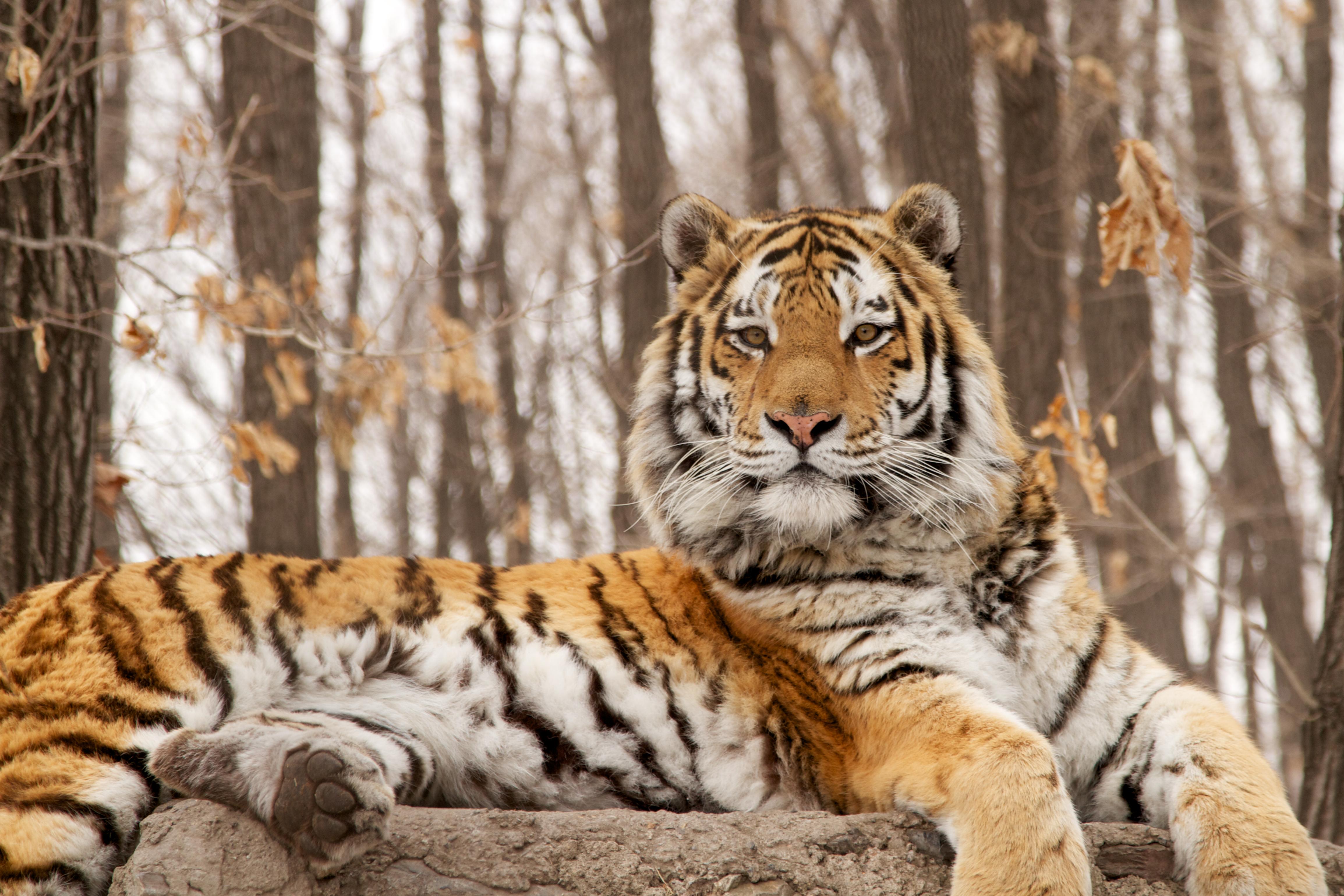 Siberian Tiger Quest | Full Episode | Nature | PBS