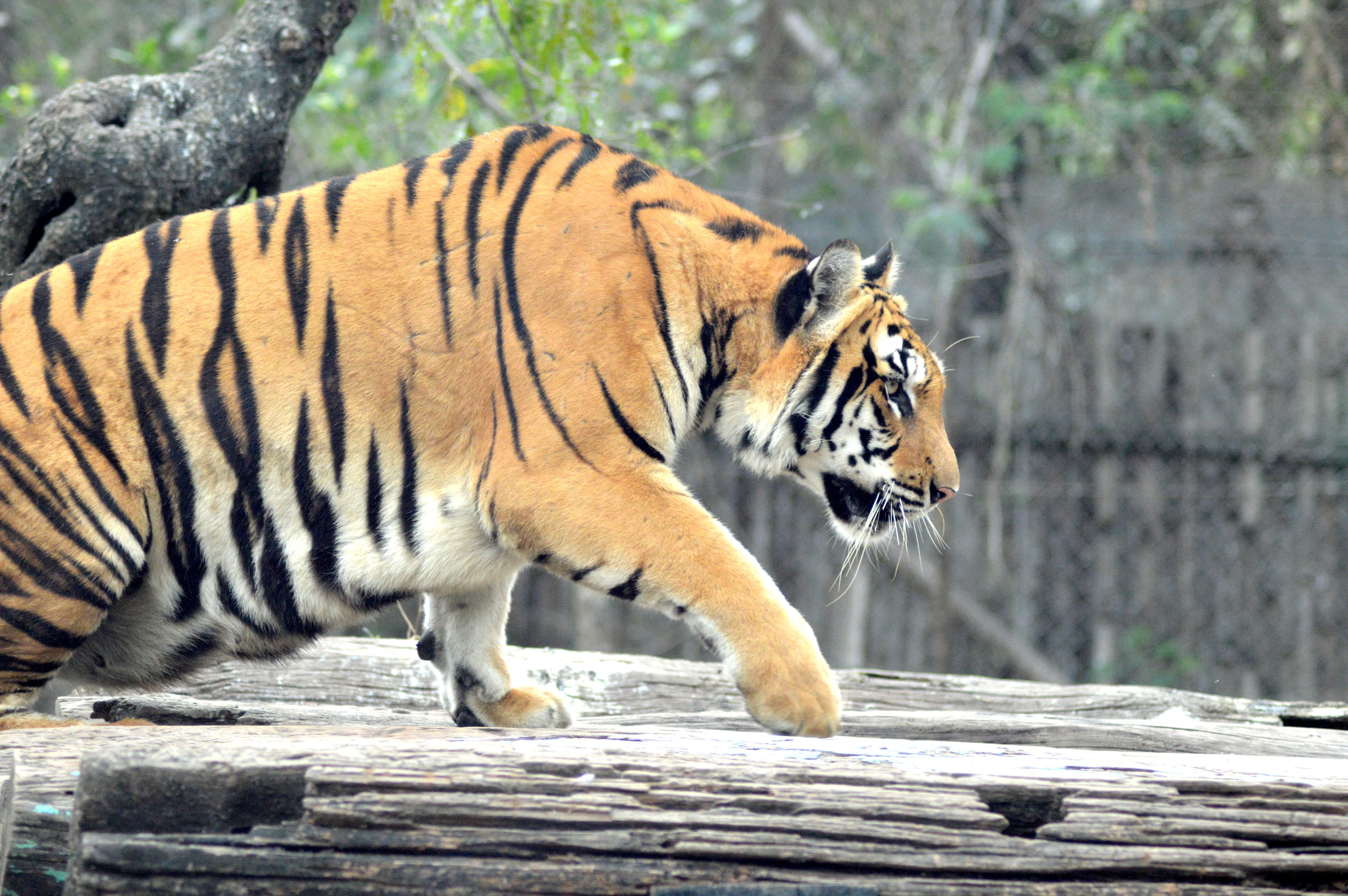 Brown Tiger, Animal, Nature, Wood, Wildlife, HQ Photo