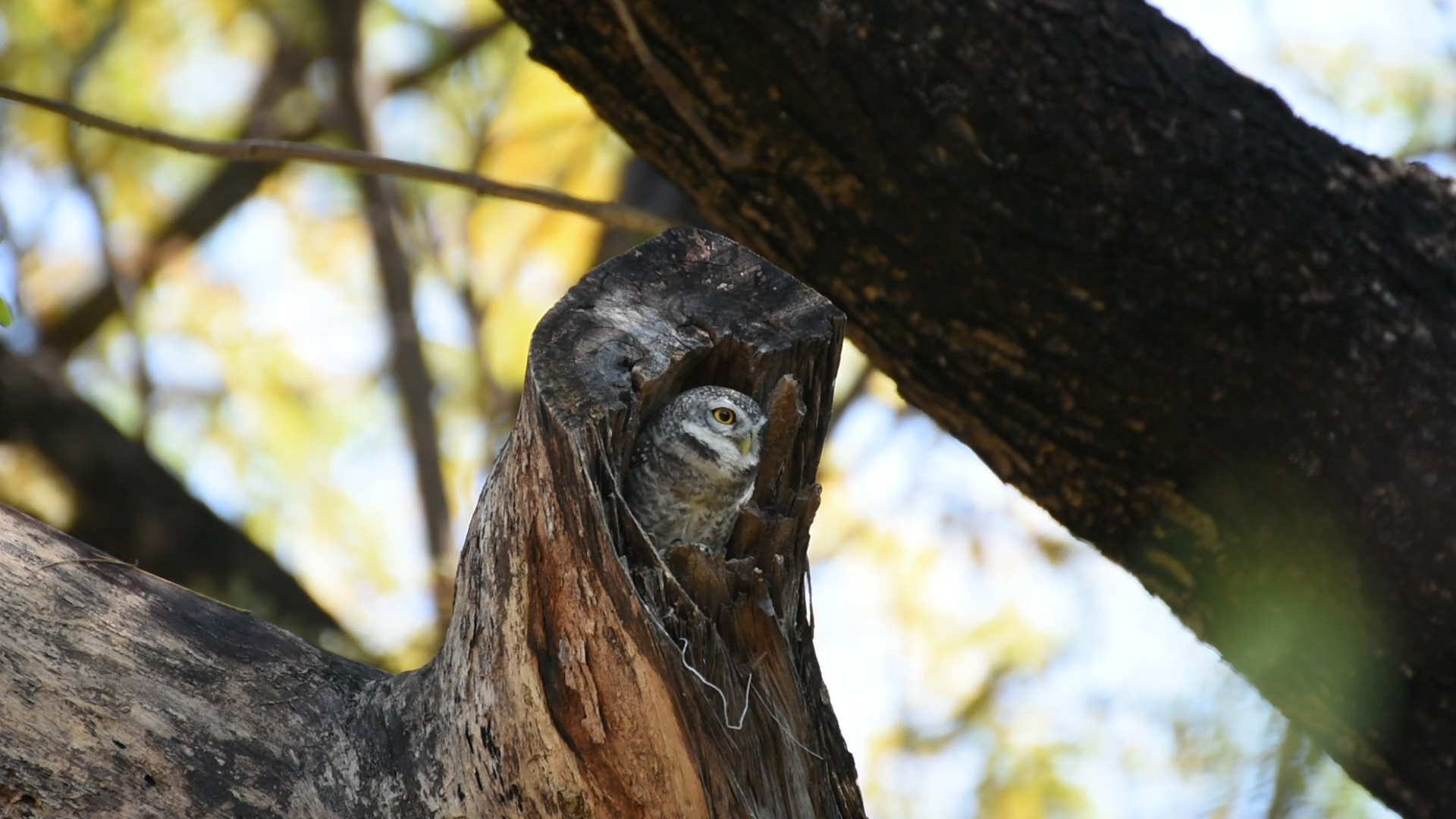 Bird (Spotted owlet, Owl) brown color perched in hollow tree trunk ...