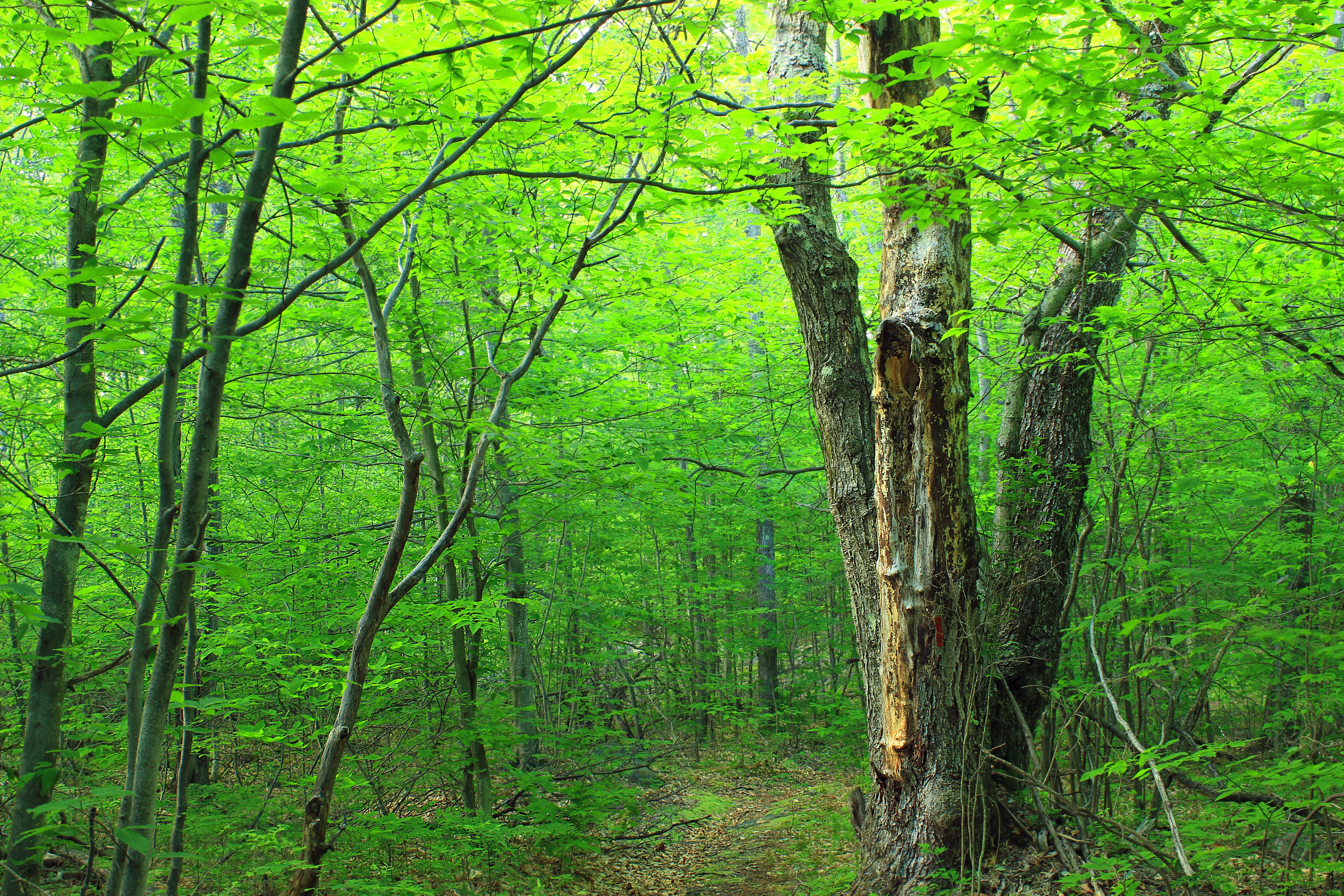 Brown trunk green leaves tree on forest photo