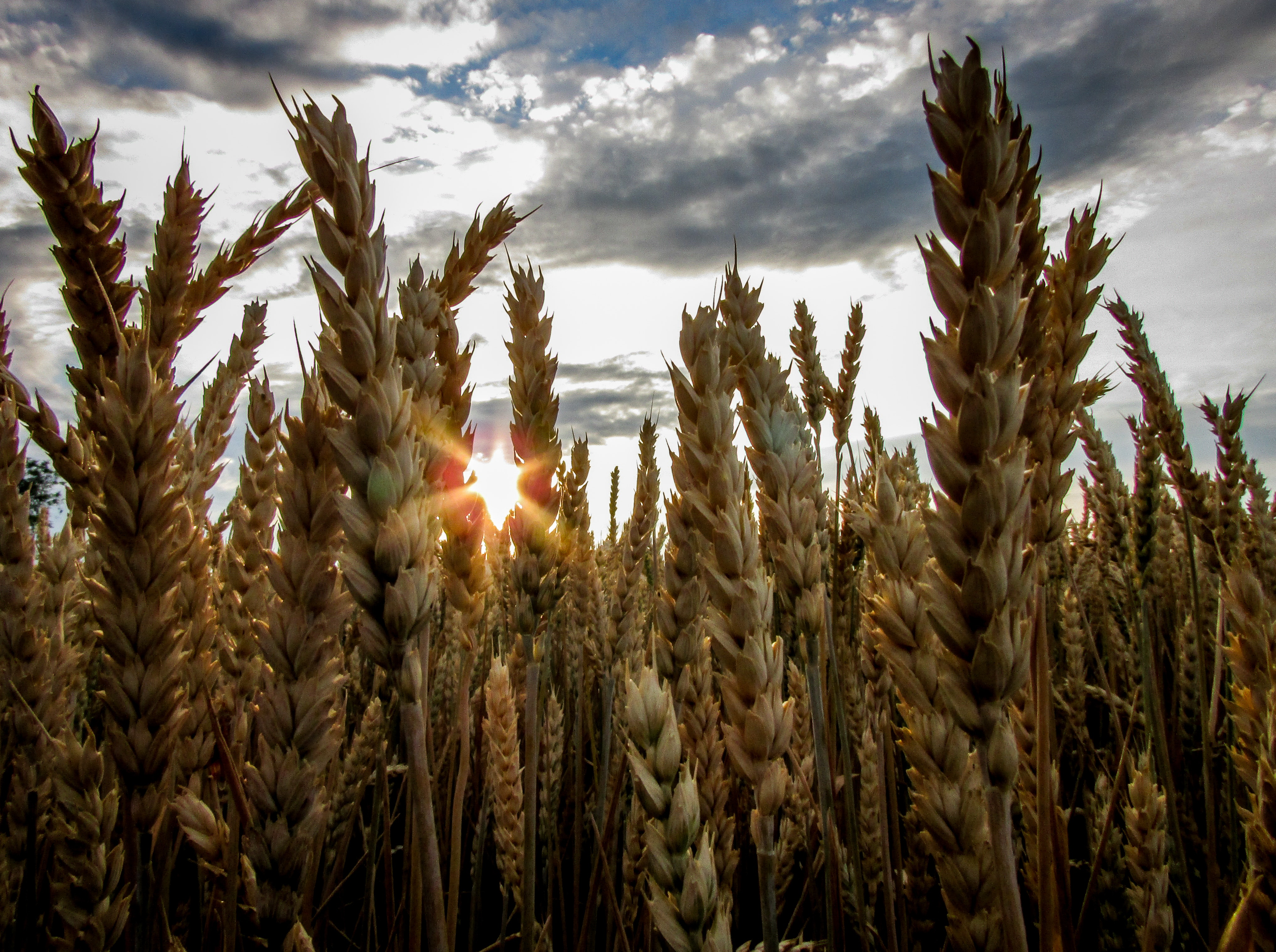 Brown Wheat With Sunrays Effect
