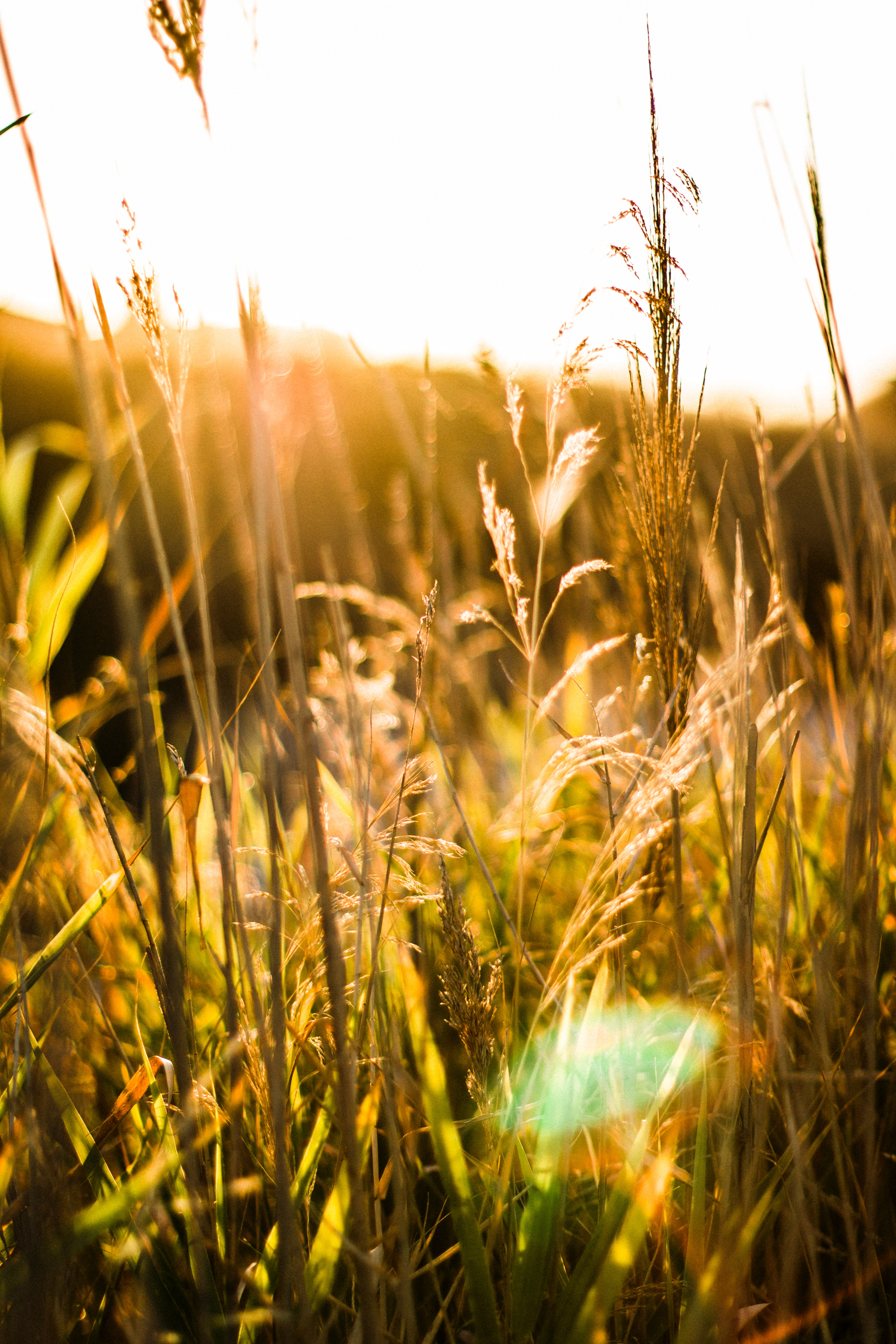Brown Wheat With Sunrays Effect, Agriculture, Landscape, Wheat, Sunset, HQ Photo