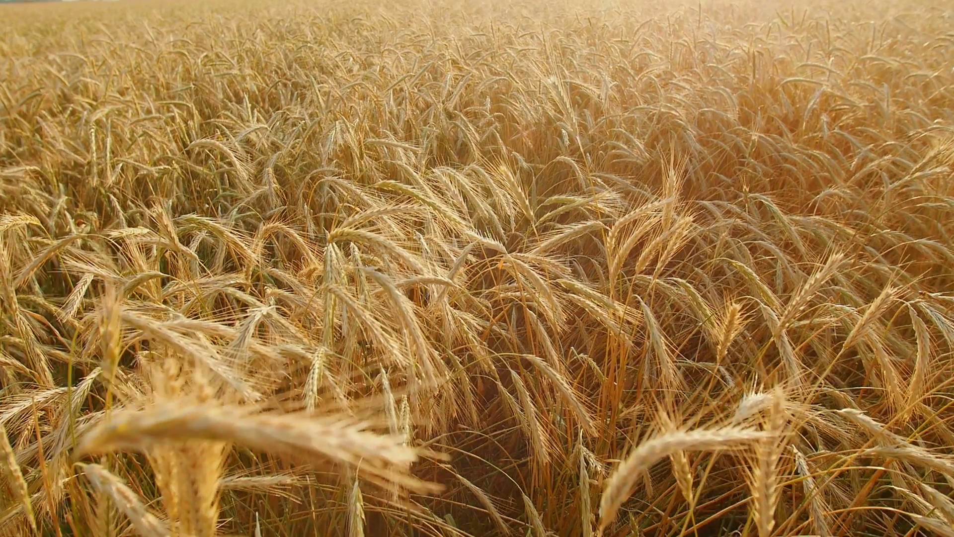 Golden wheat field with sun rays. can be used for agriculture and ...