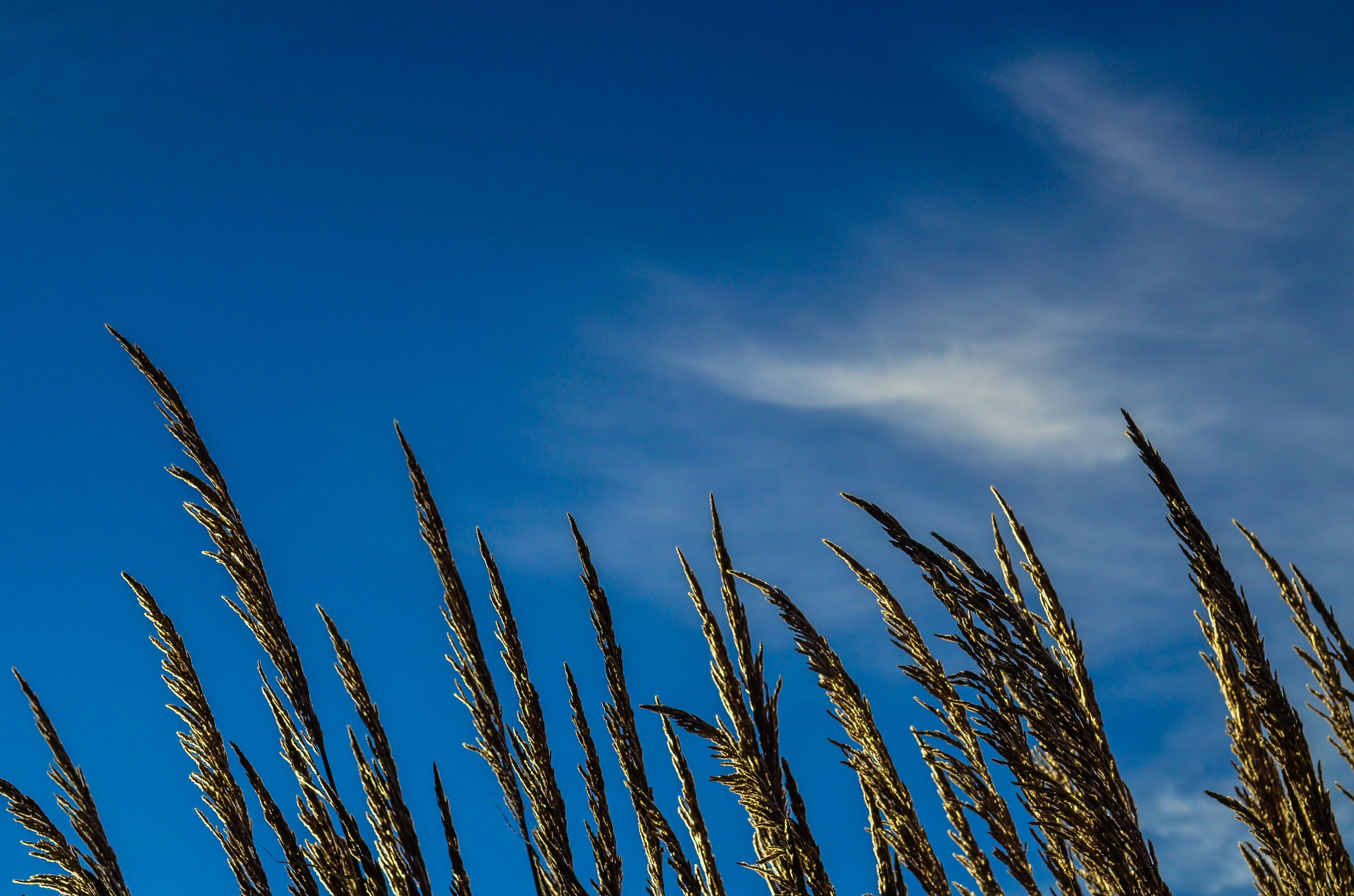 Brown Wheat With Sunrays Effect · Free Stock Photo