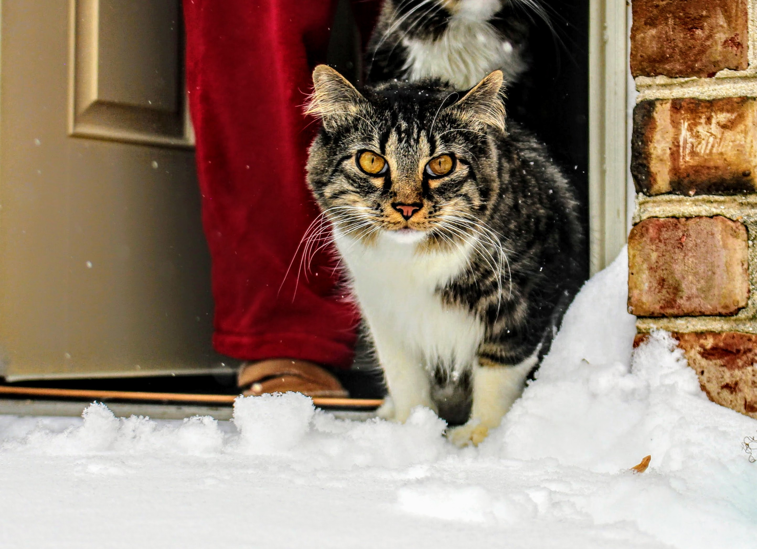 Brown, white and black maine coon cat in front of gray wooden door photo
