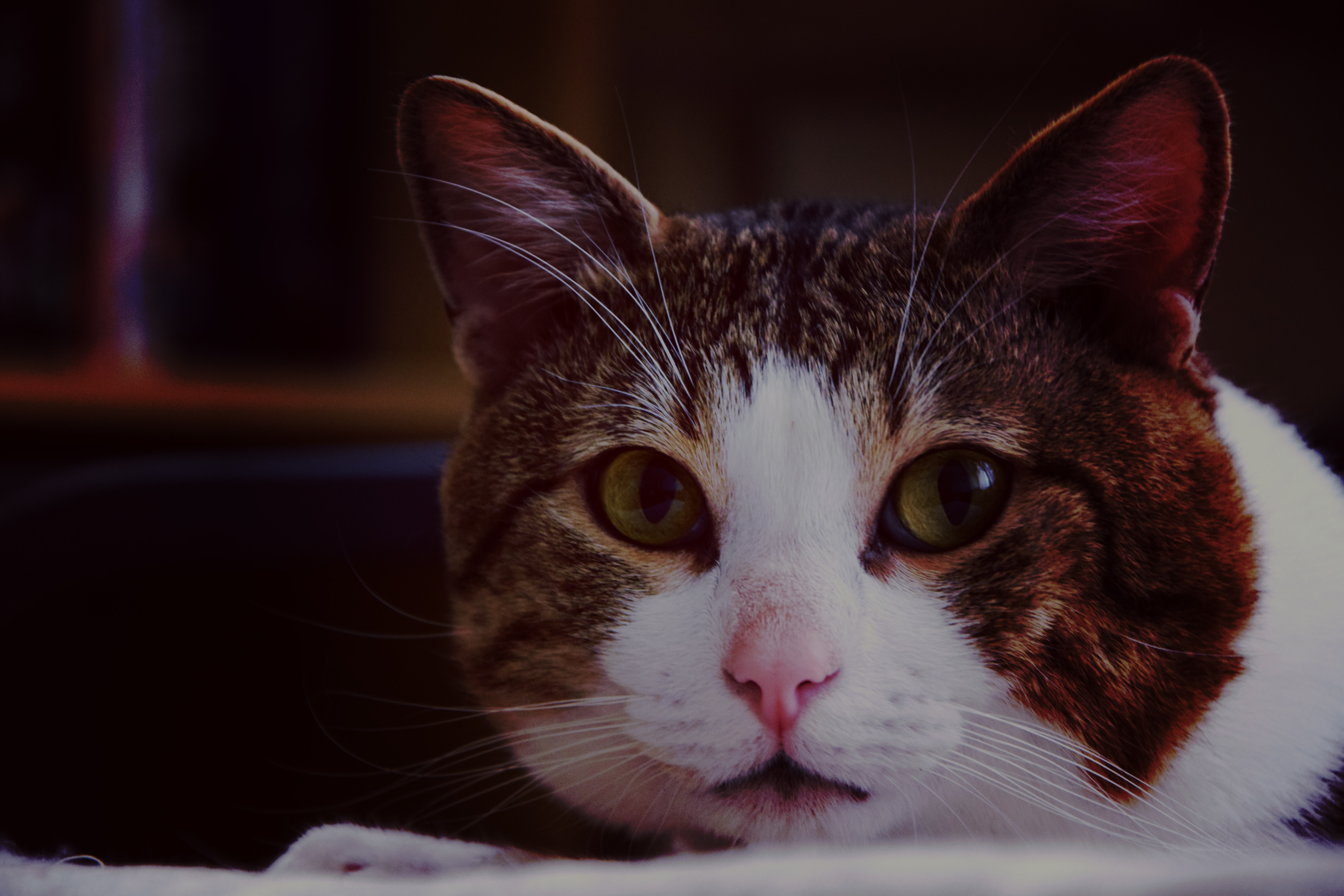 Brown White Gray Cat in Close Up Photography, Lazy, Young, Whisker, Staring, HQ Photo