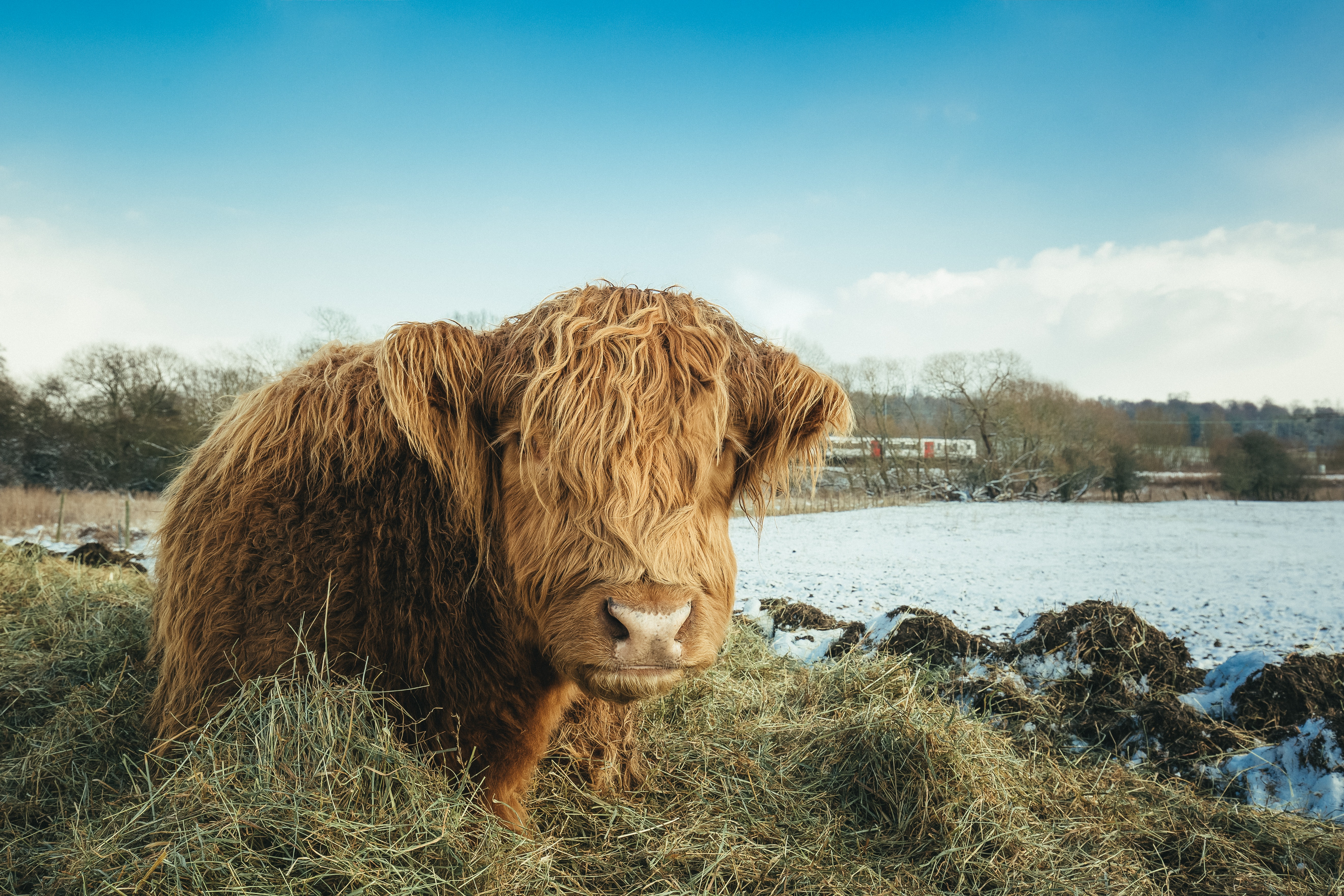 Brown yak on green grass field photo