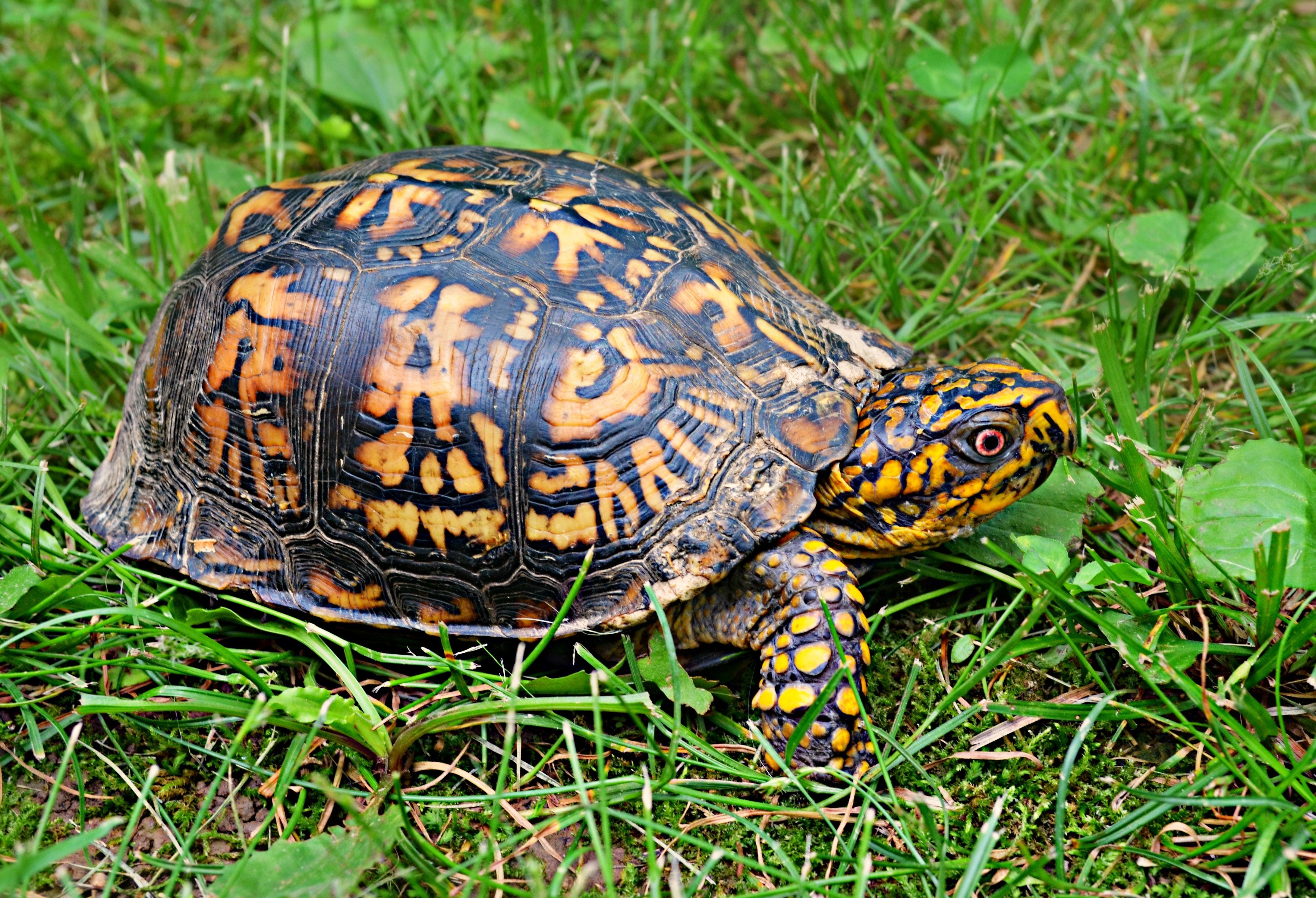Brown yellow tortoise photo