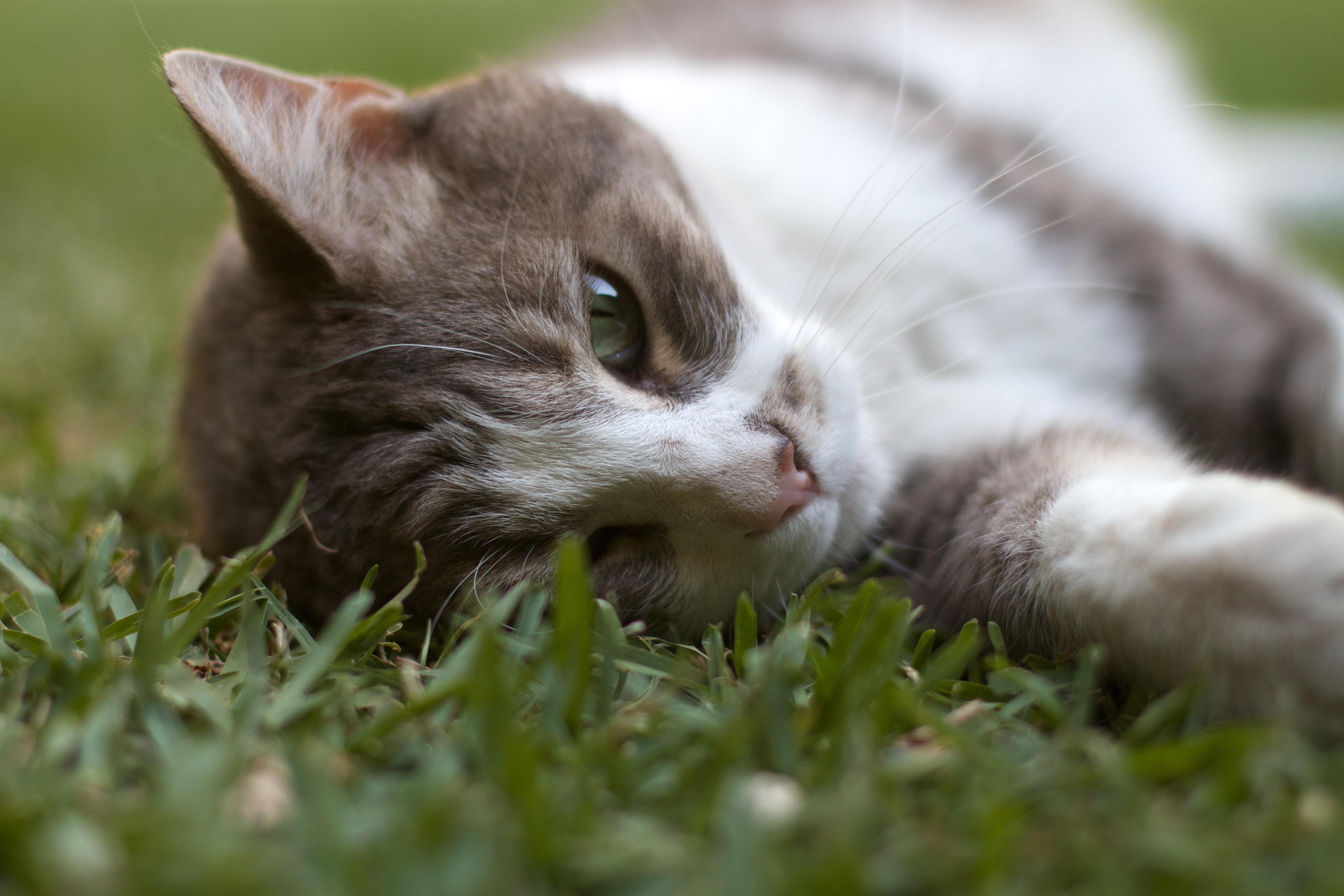 Buba in the Grass, Animal, Cat, Grass, Macro, HQ Photo