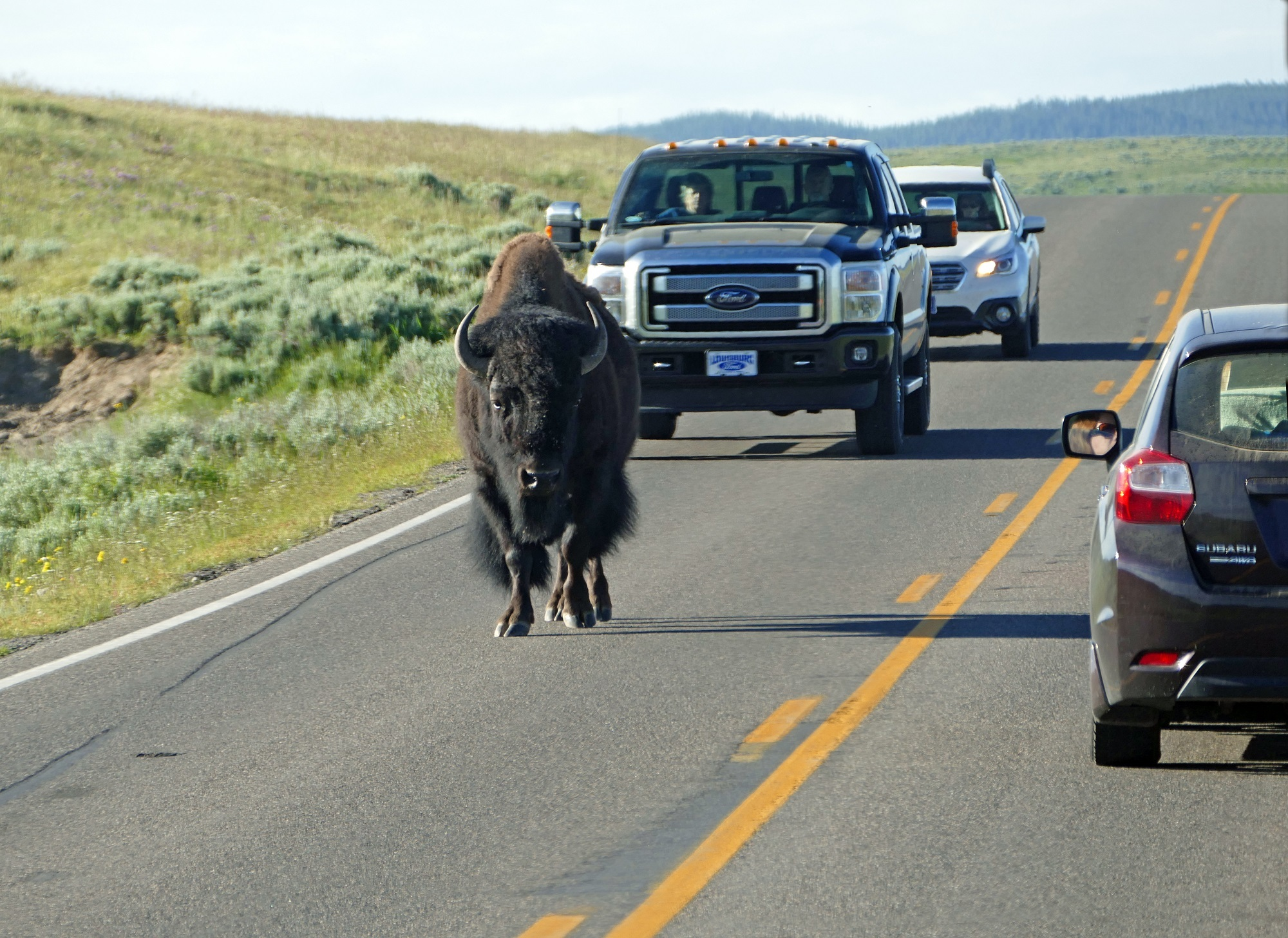 Buffalo on the highway, Animal, Buffalo, Car, Highway, HQ Photo