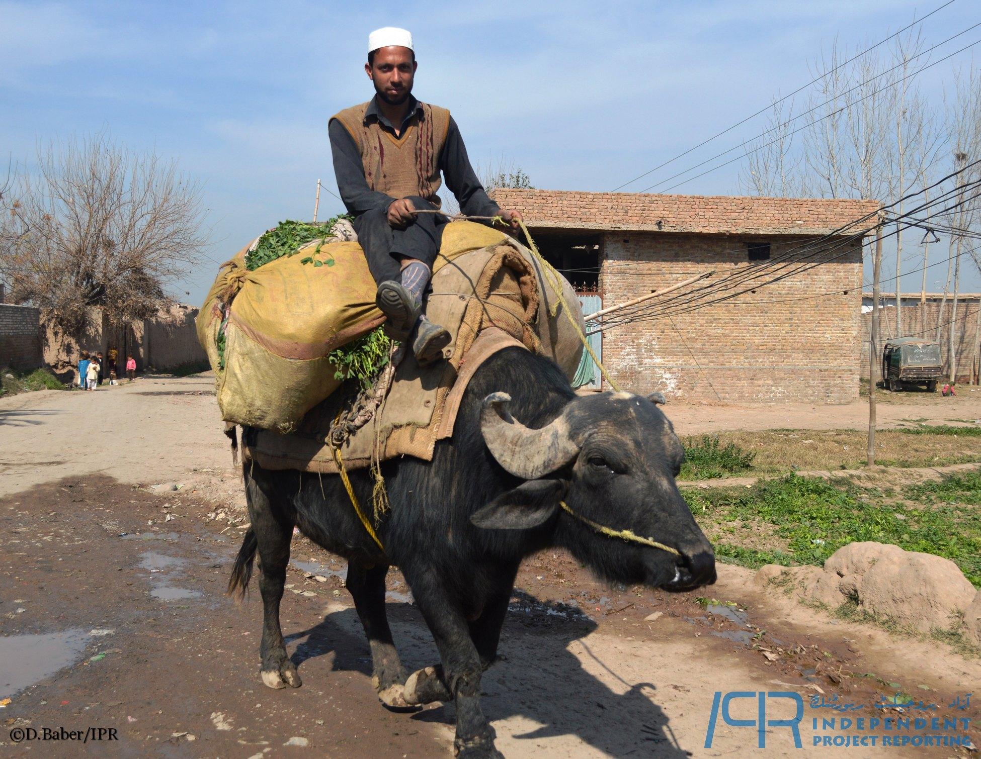 Ride of buffalo   IPR, Department of Mass Communication & Journalism