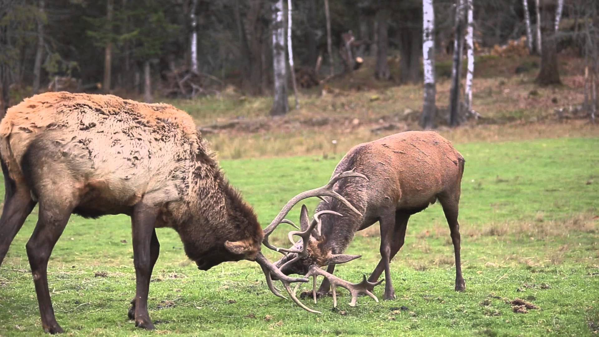 Elk and deer in a fight - YouTube