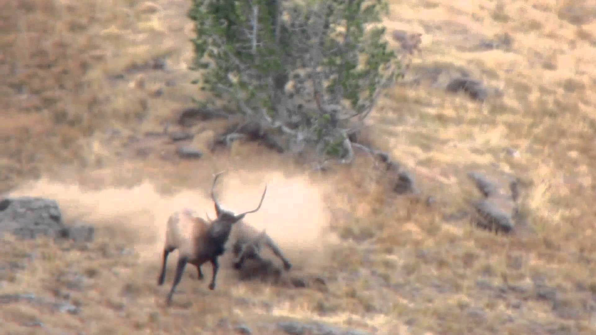 Bull Elk Fight - YouTube