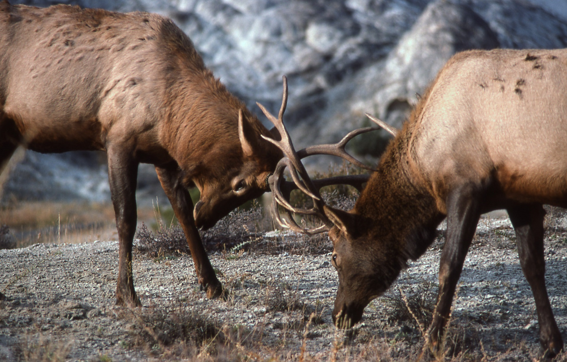Bull Elk Fight, Animal, Battle, Bull, Elk, HQ Photo