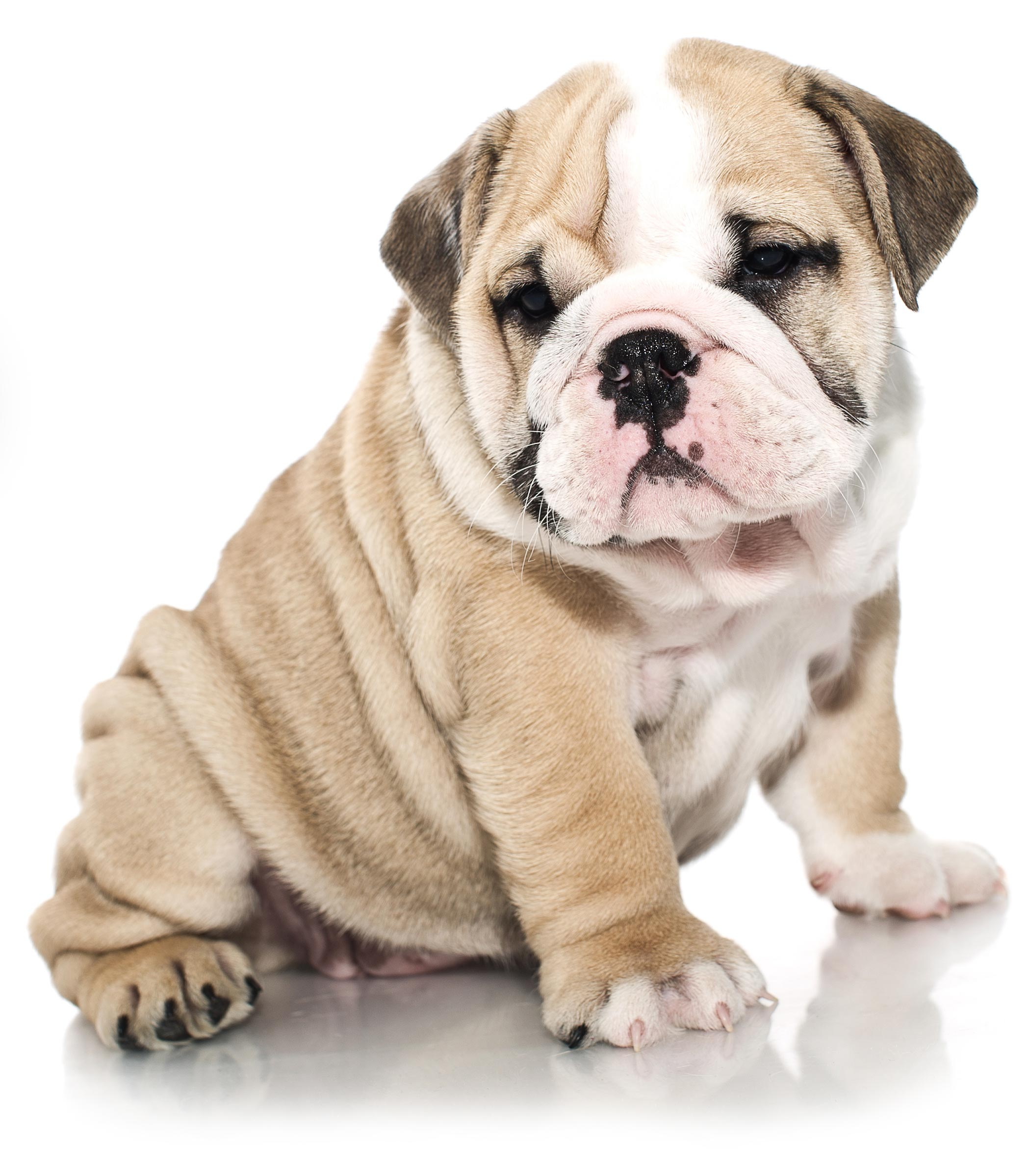 From Family to Family - English Bulldog
