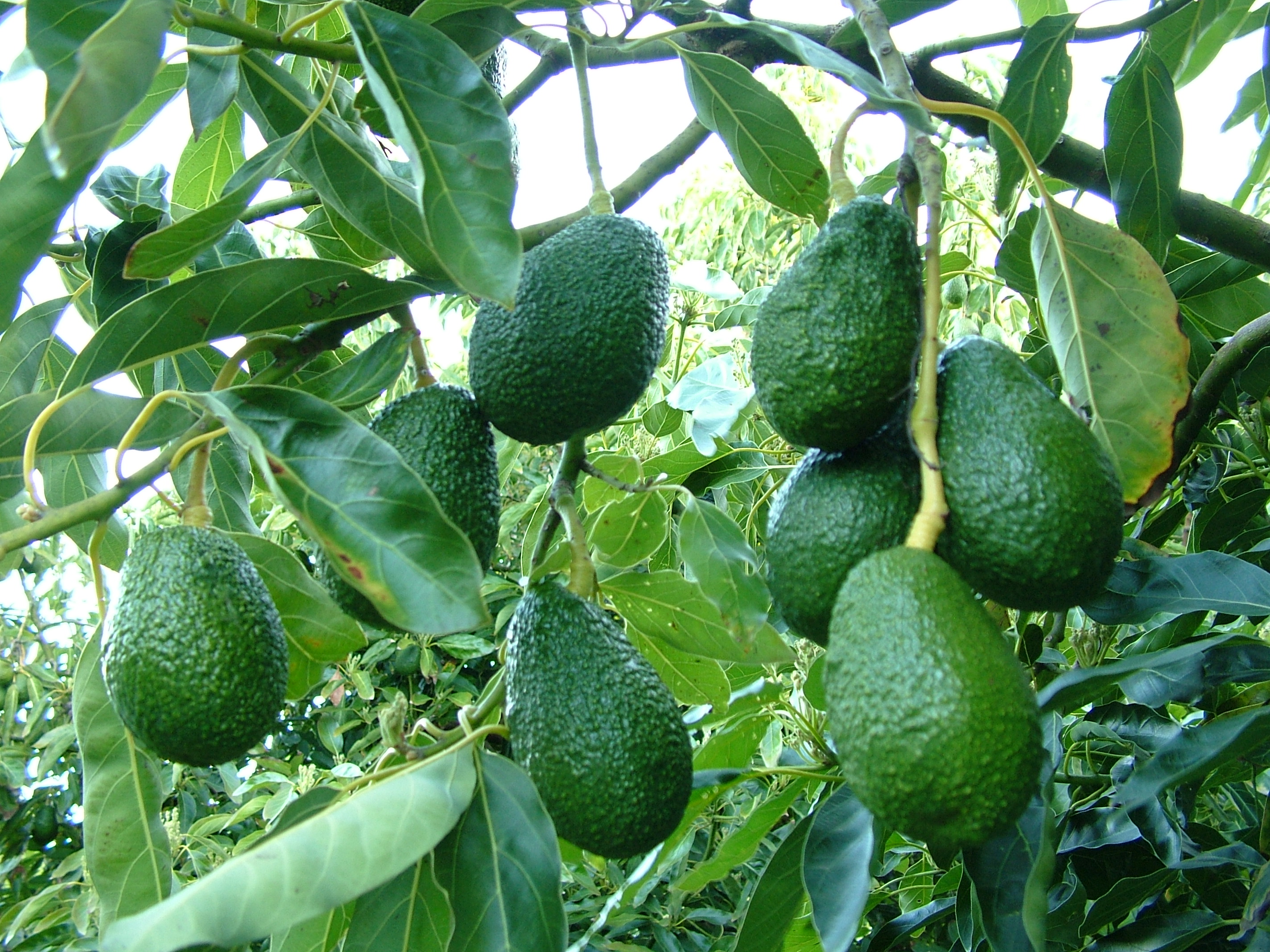 Avocados in Western Australia – overview | Agriculture and Food