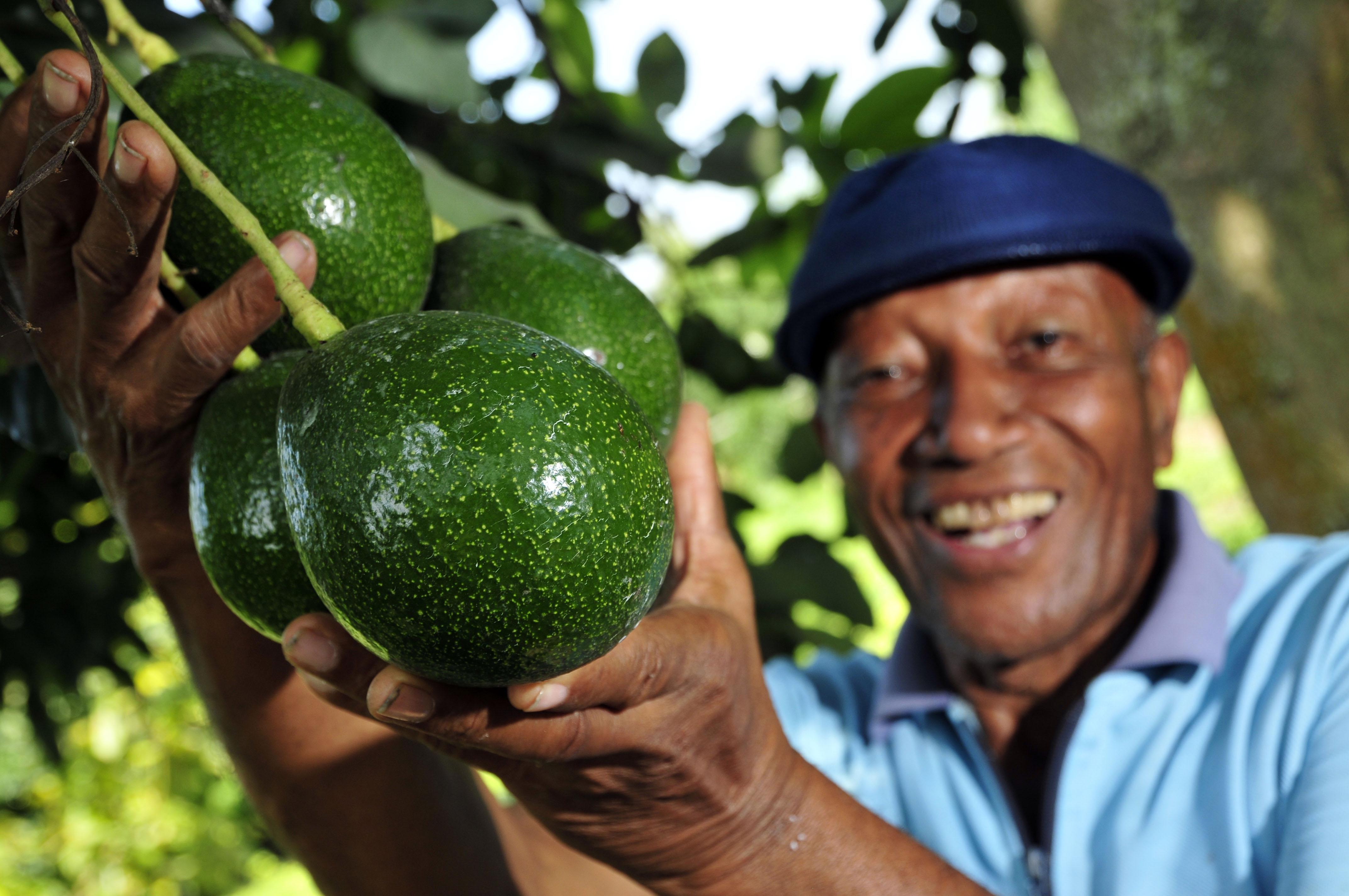 File:Bunch of avocados grown by a smallholder farmer near Palmira ...