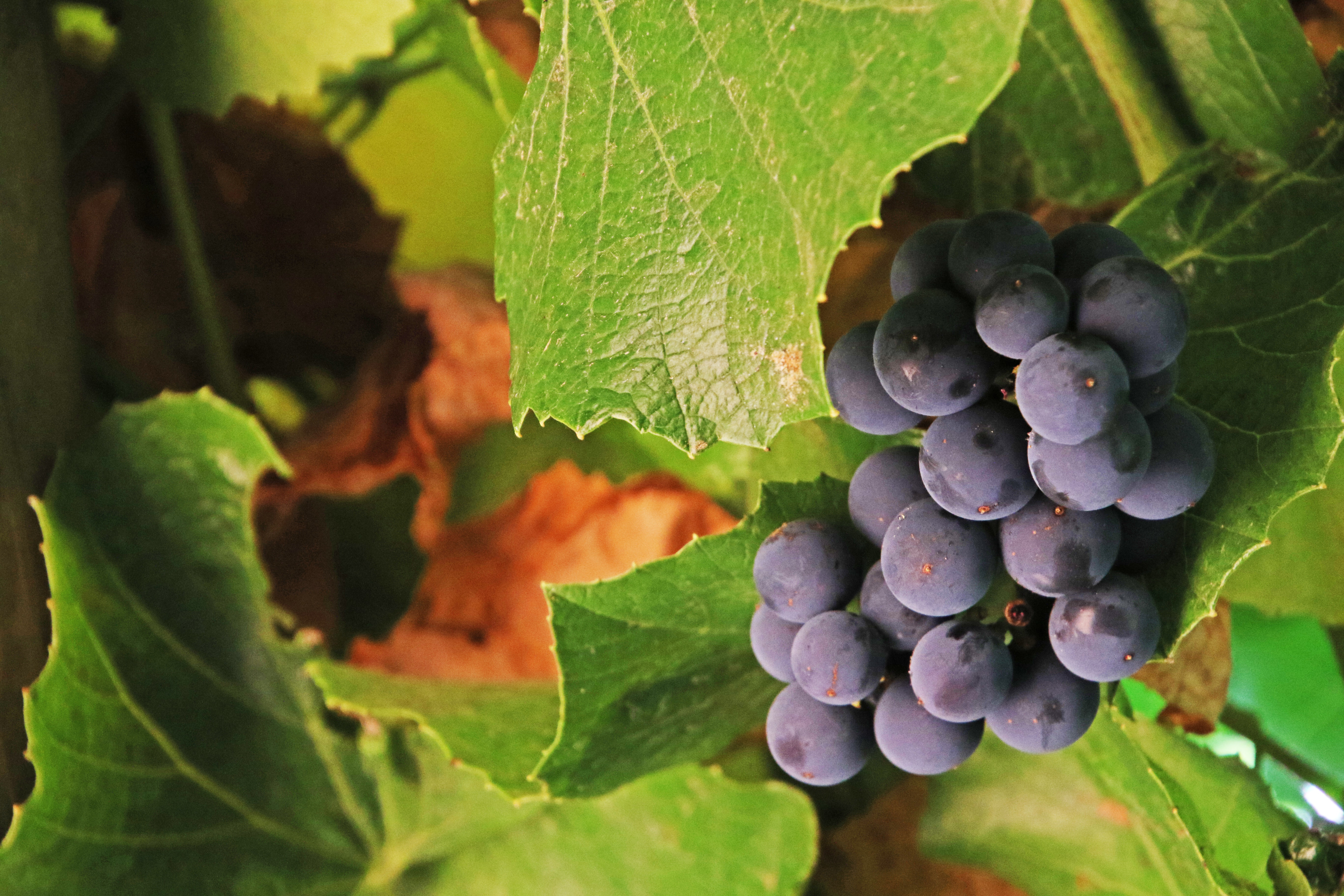 Bunch of black grapes photo