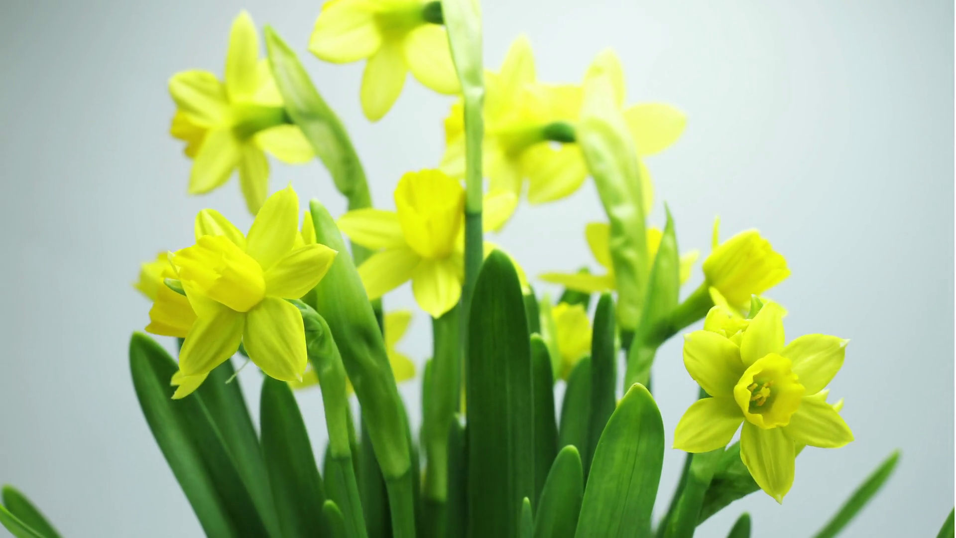 A bunch of Daffodils blooming Time-Lapse Stock Video Footage ...