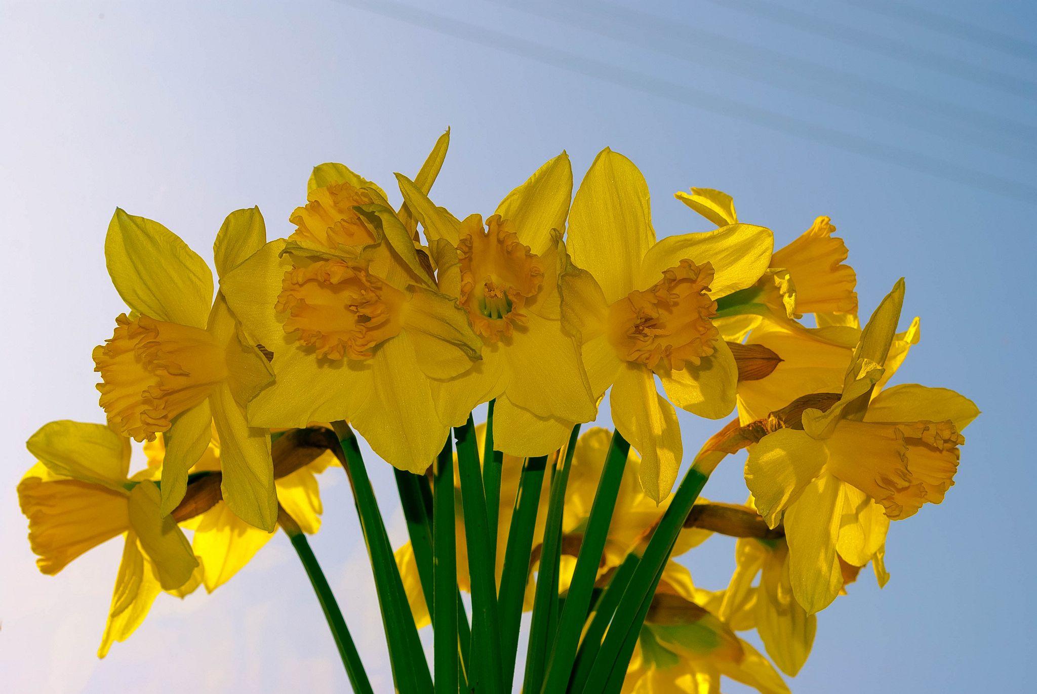 Blooming Daffs | Daffodils