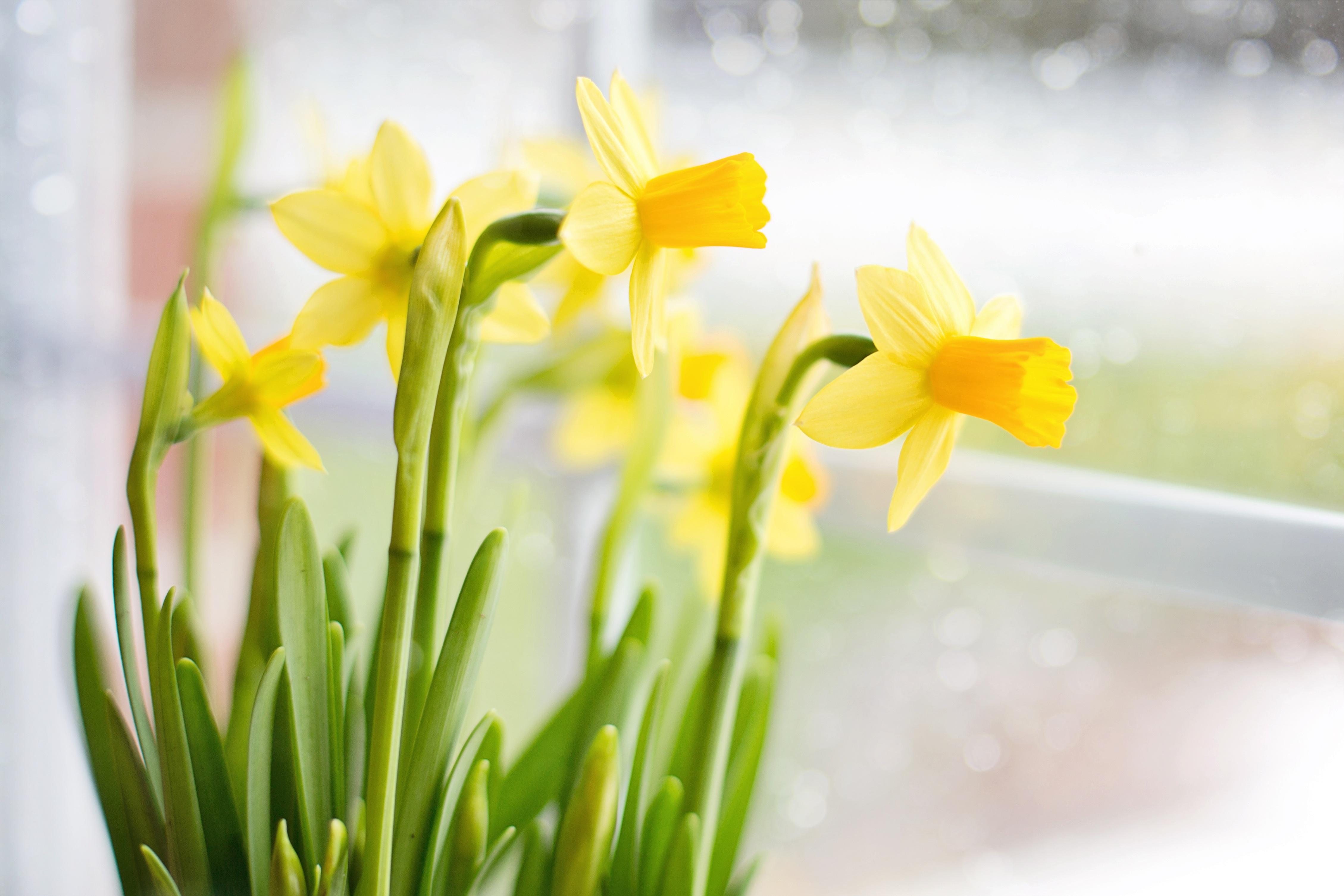 Bunch of Daffodils, Blooming, Daffodil, Flower, Fragrance, HQ Photo