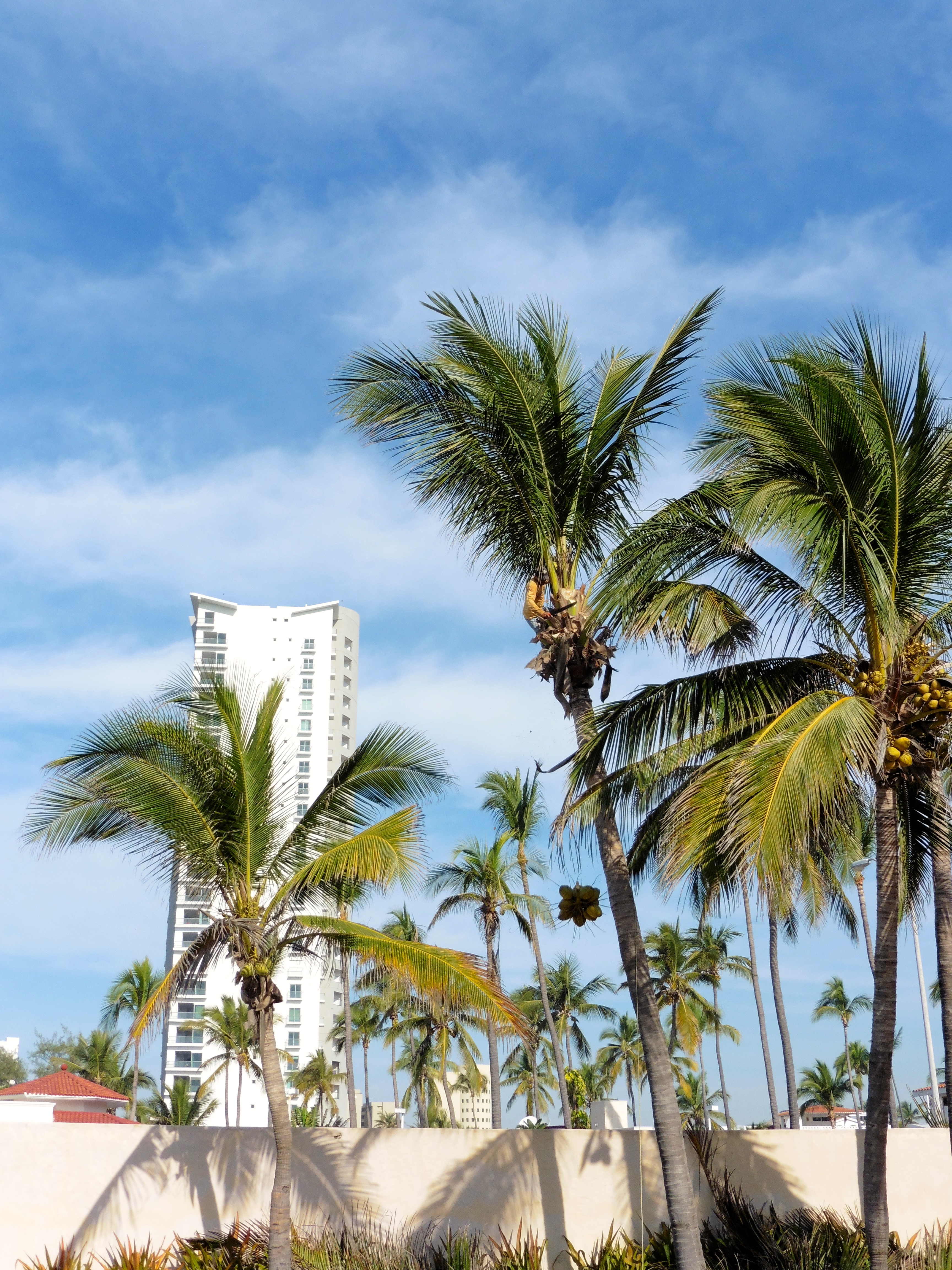 Caring for Coconut Palm Trees at Torres Mazatlan – Colorado ...