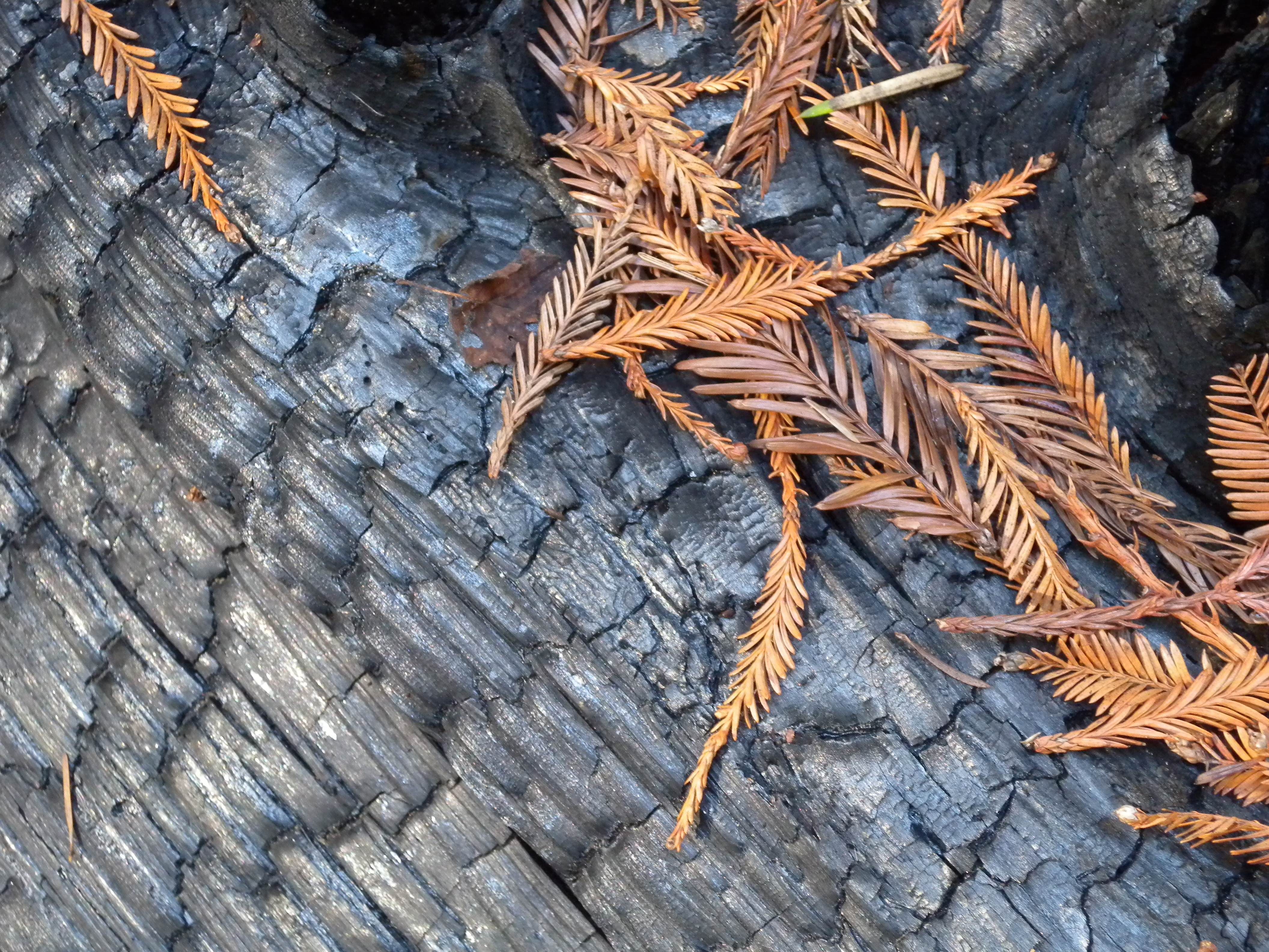 charred tree bark | Brightly colored redwood foliage against a ...