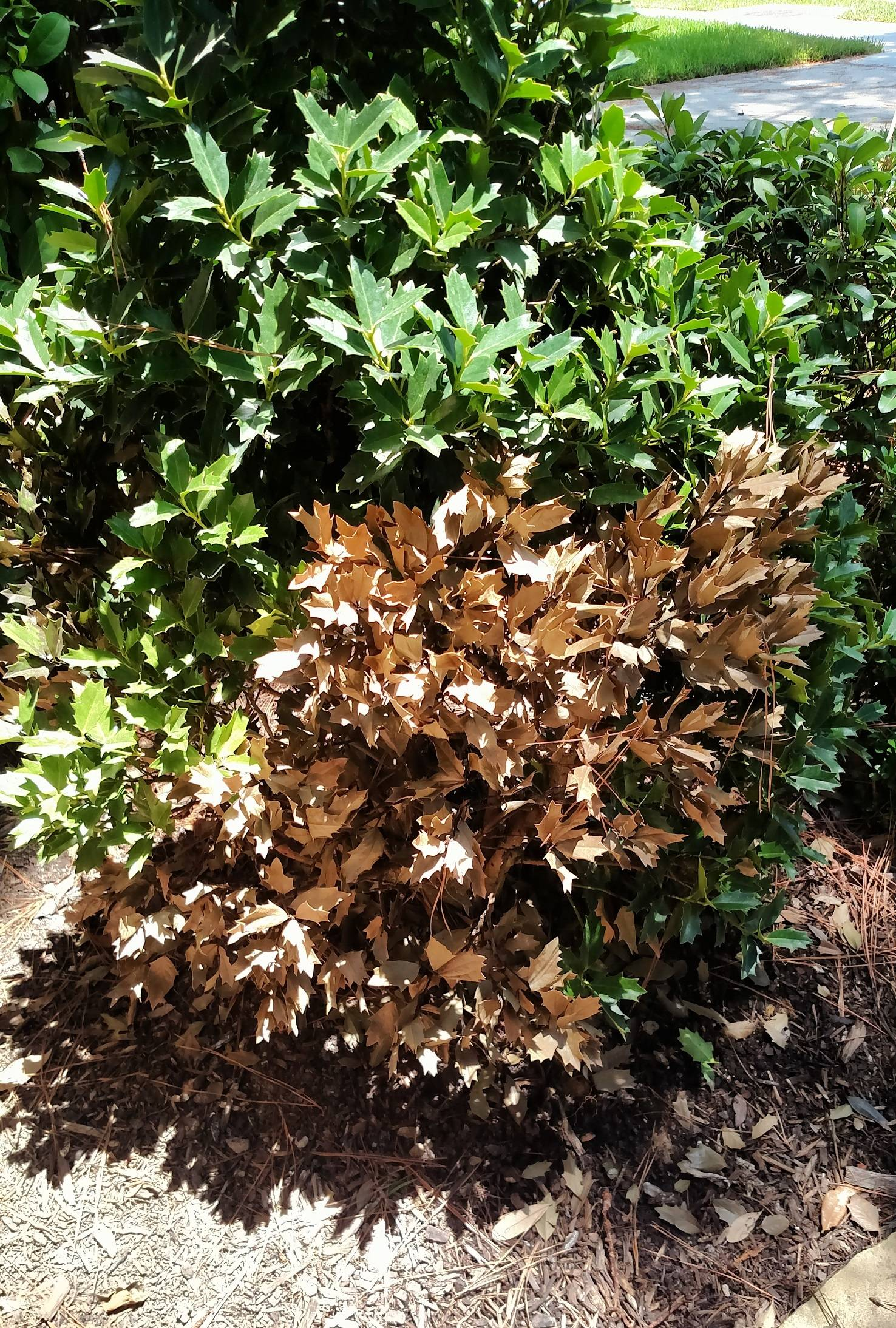 diagnosis - Why did a section of leaves on my Holly bush turn brown ...