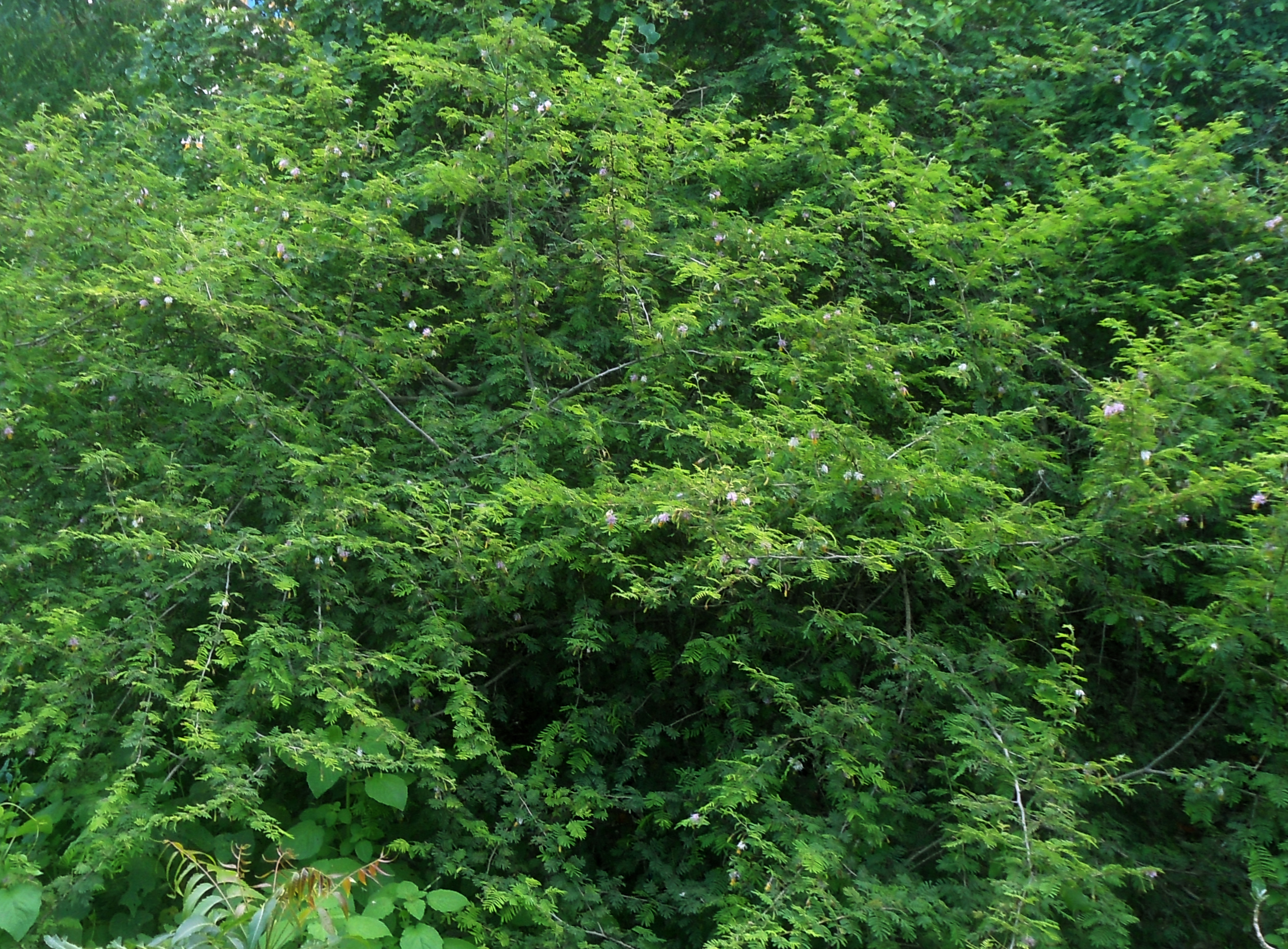 File:Dichrostachys cinerea (Sickle Bush) tree at Madhurawada.jpg ...